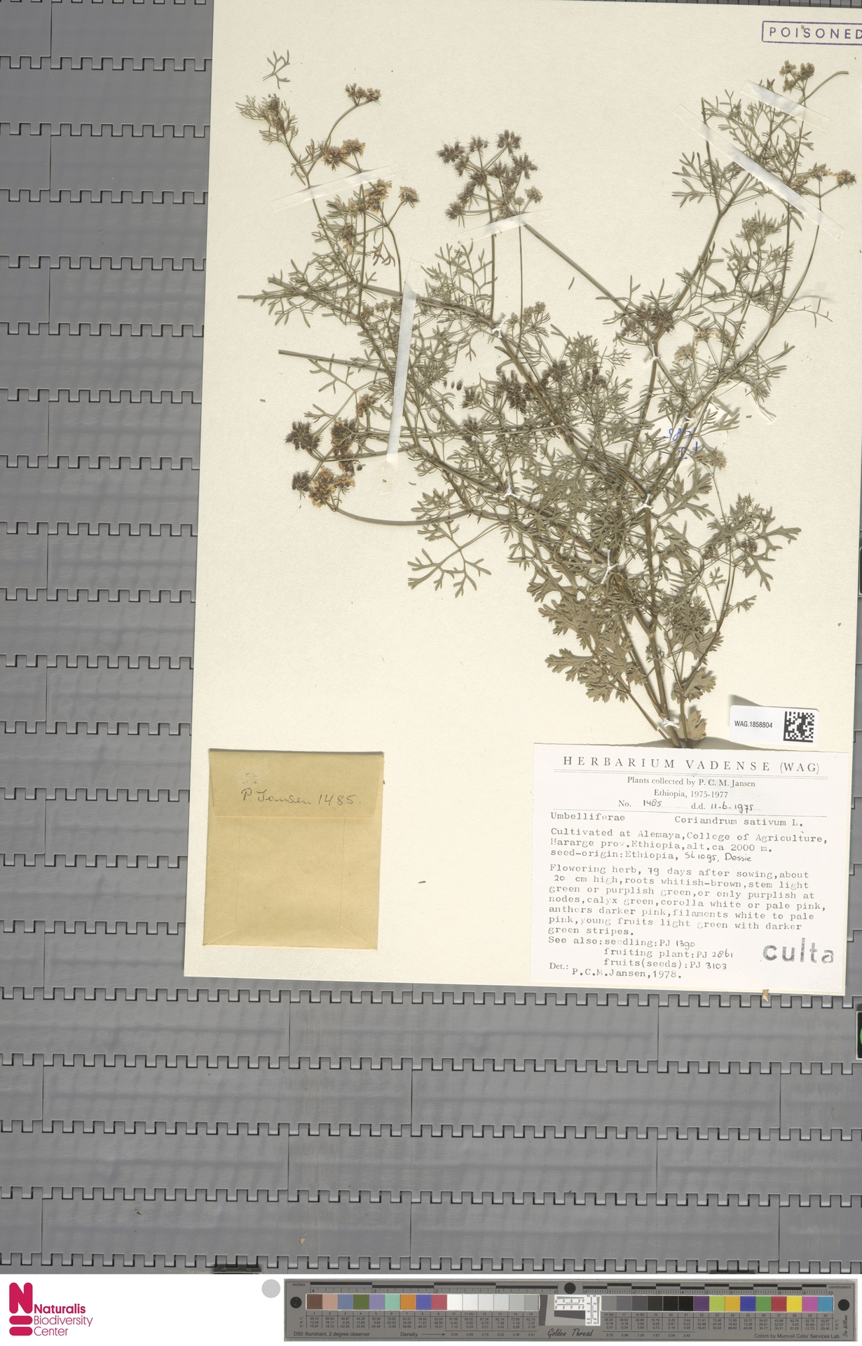 WAG.1858804 | Coriandrum sativum L.