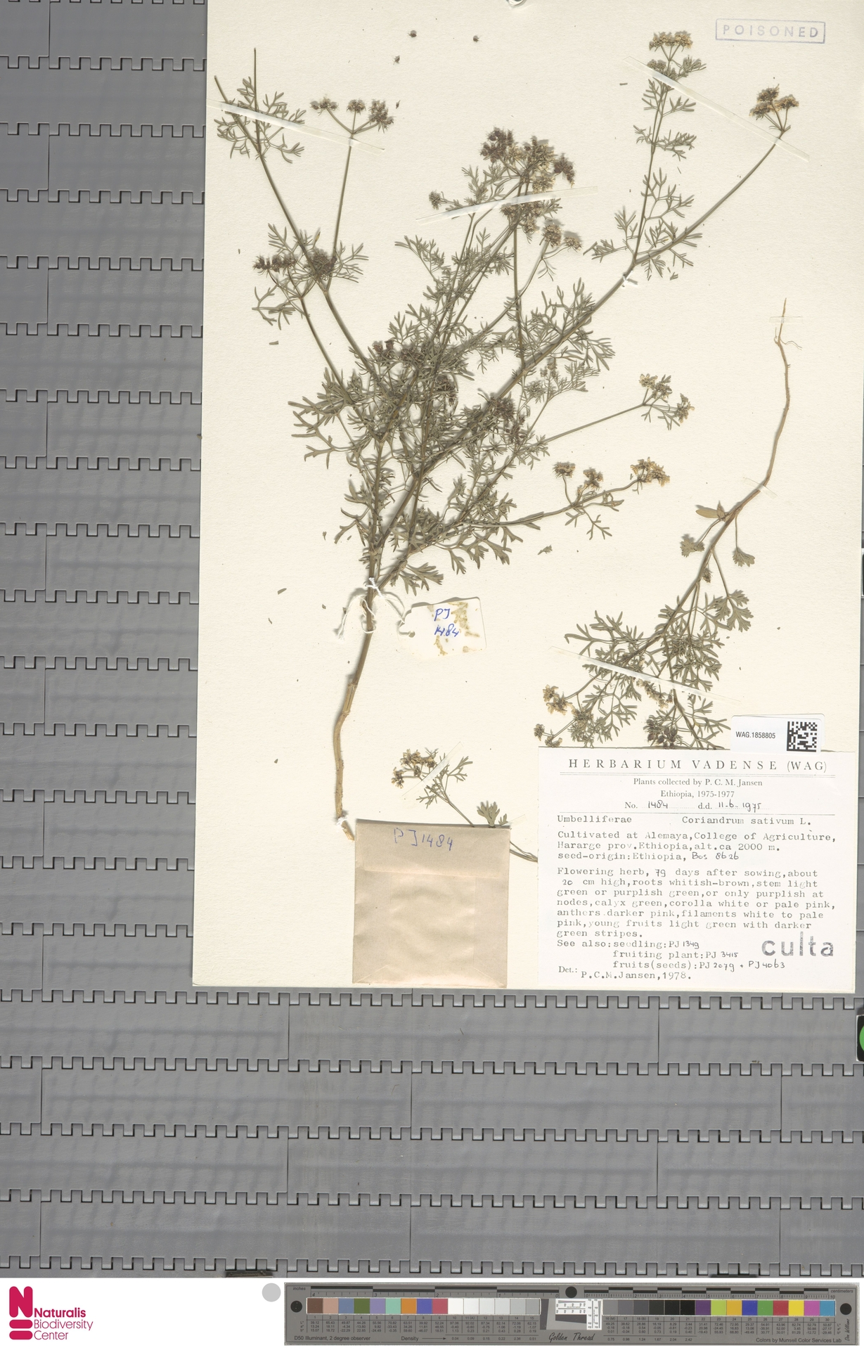 WAG.1858805 | Coriandrum sativum L.