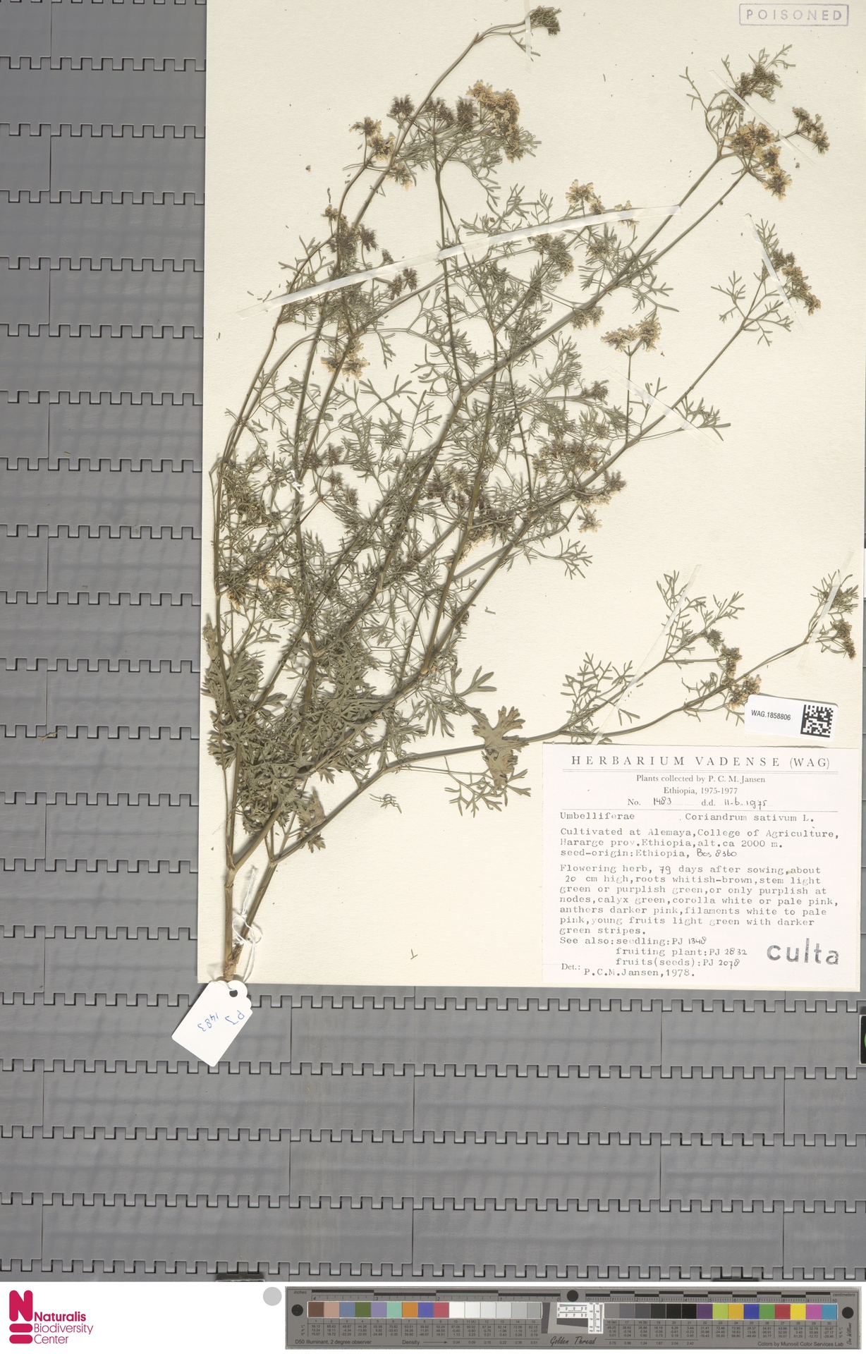 WAG.1858806 | Coriandrum sativum L.