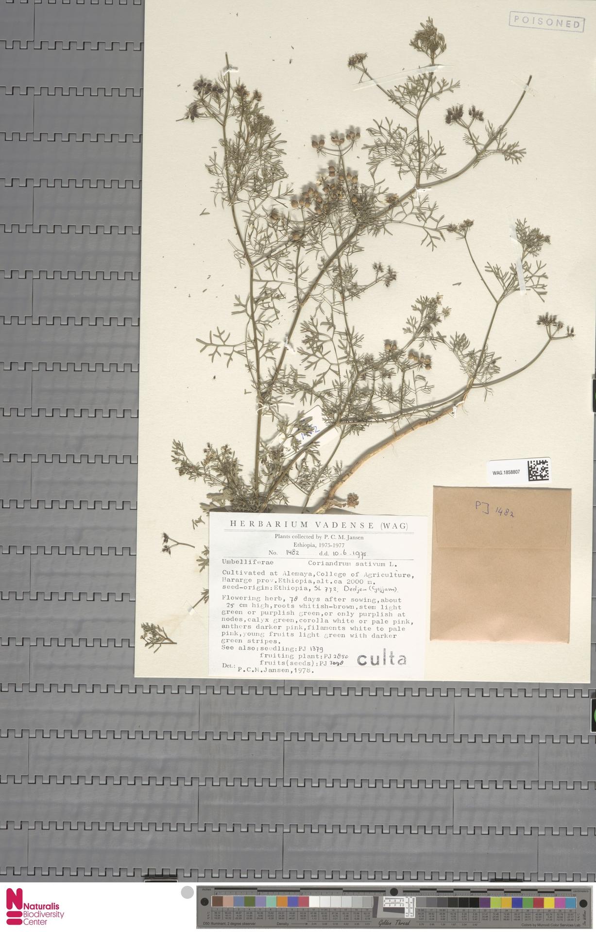 WAG.1858807 | Coriandrum sativum L.