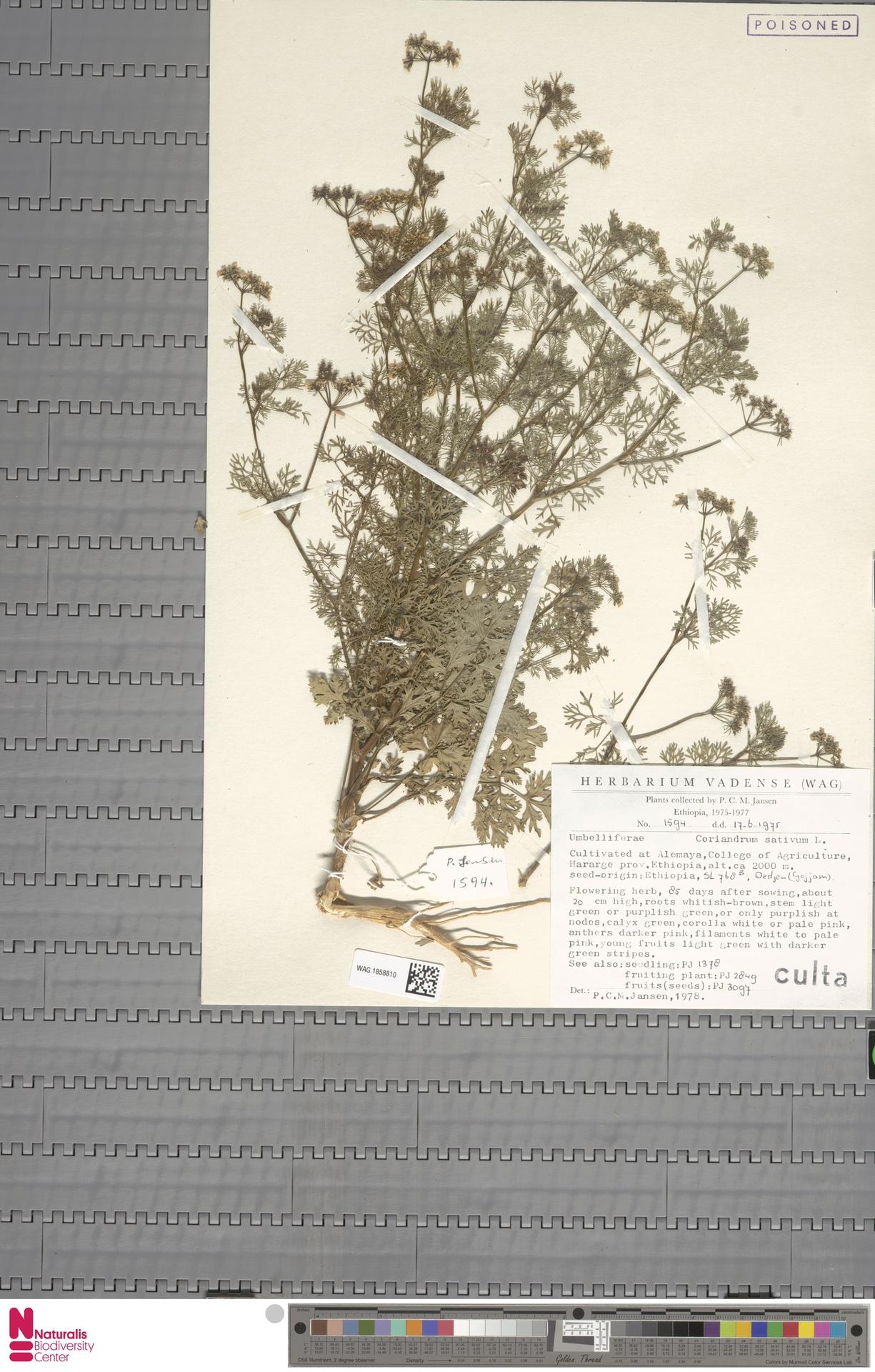 WAG.1858810 | Coriandrum sativum L.