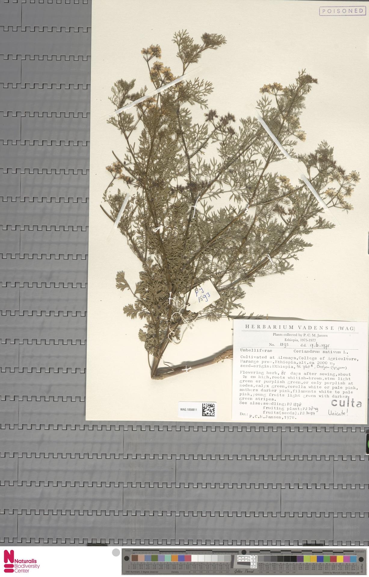 WAG.1858811 | Coriandrum sativum L.