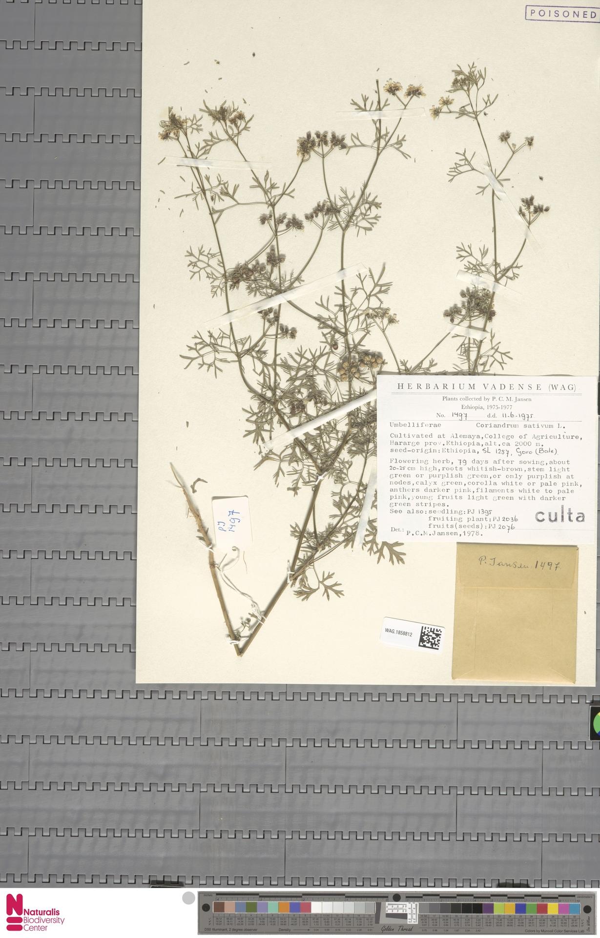 WAG.1858812 | Coriandrum sativum L.