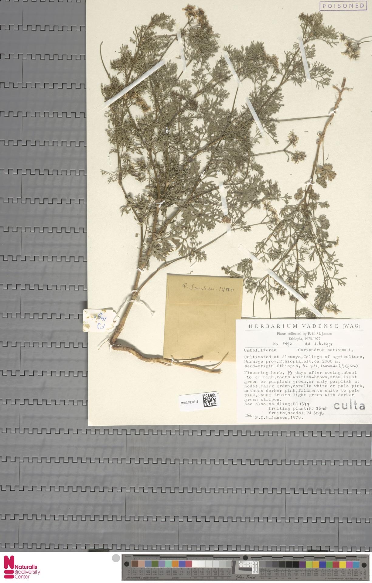 WAG.1858813   Coriandrum sativum L.