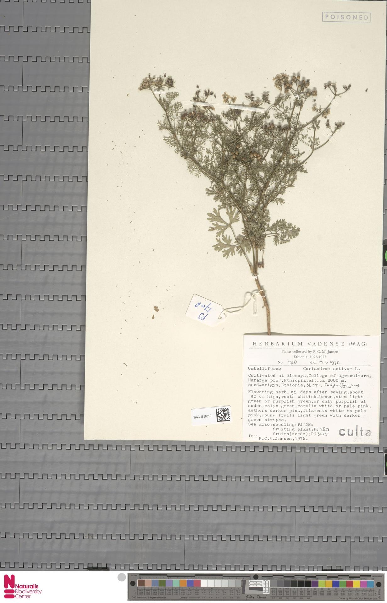 WAG.1858819 | Coriandrum sativum L.