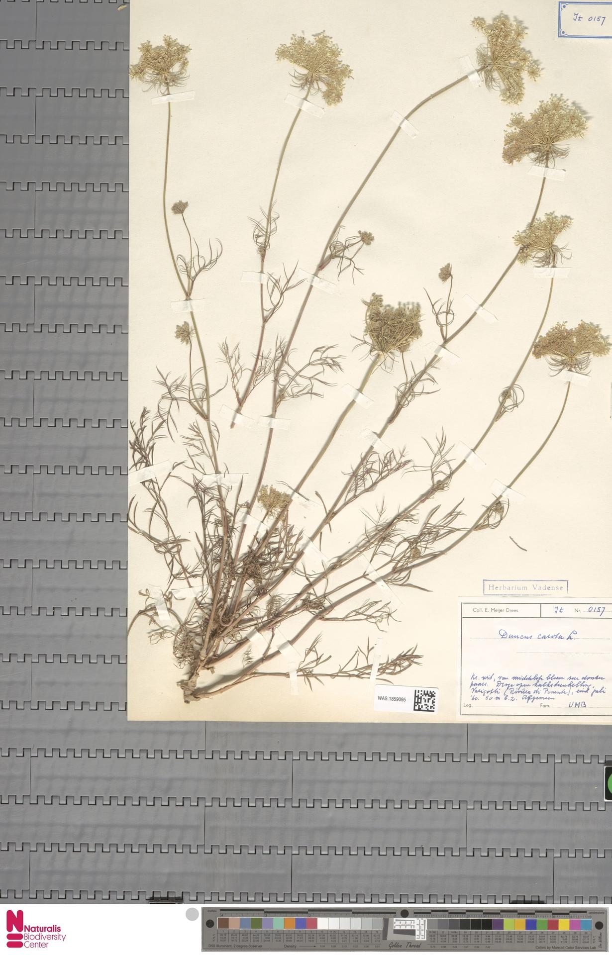 WAG.1859095 | Daucus carota L.