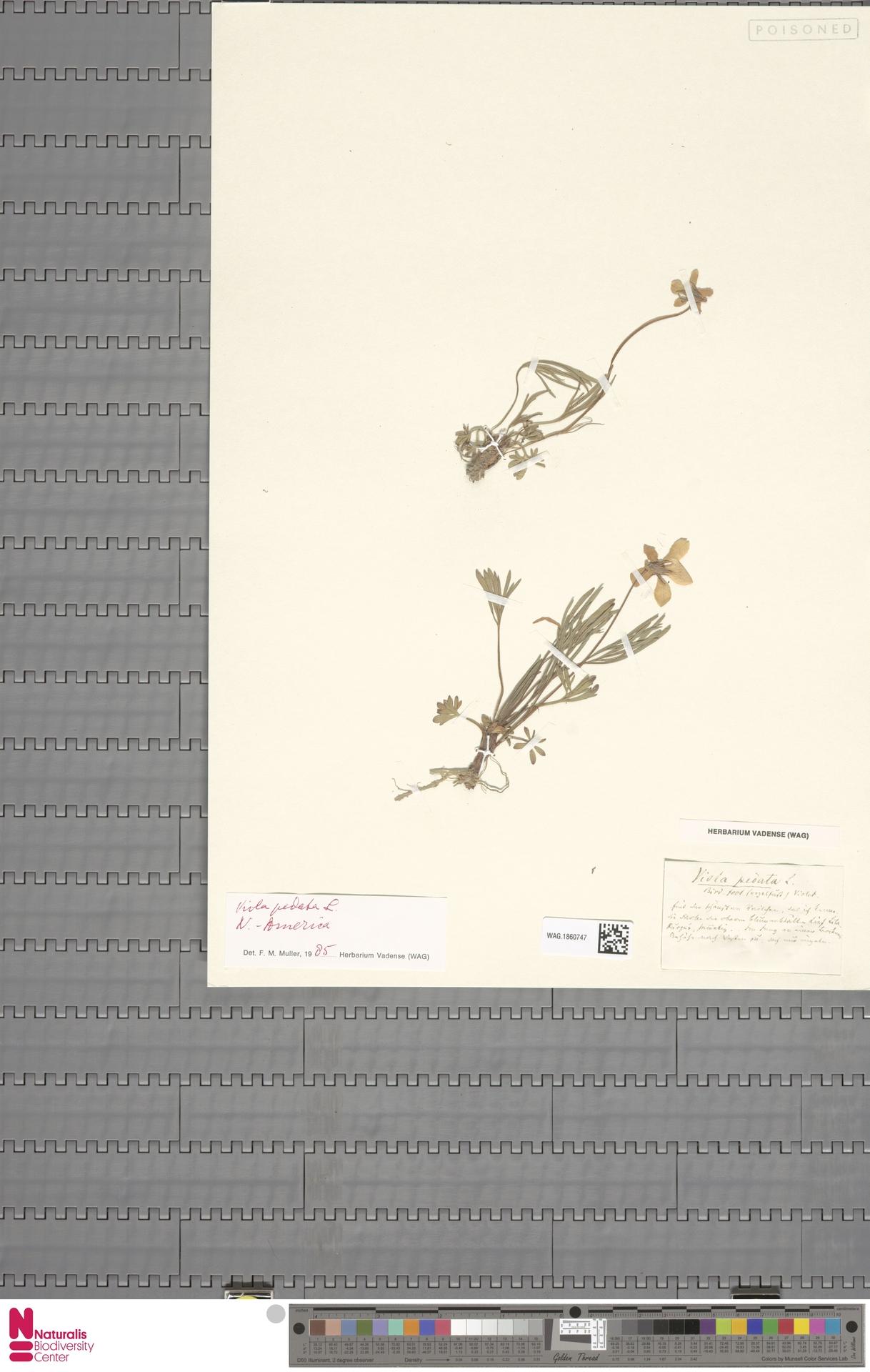 WAG.1860747 | Viola pedata L.