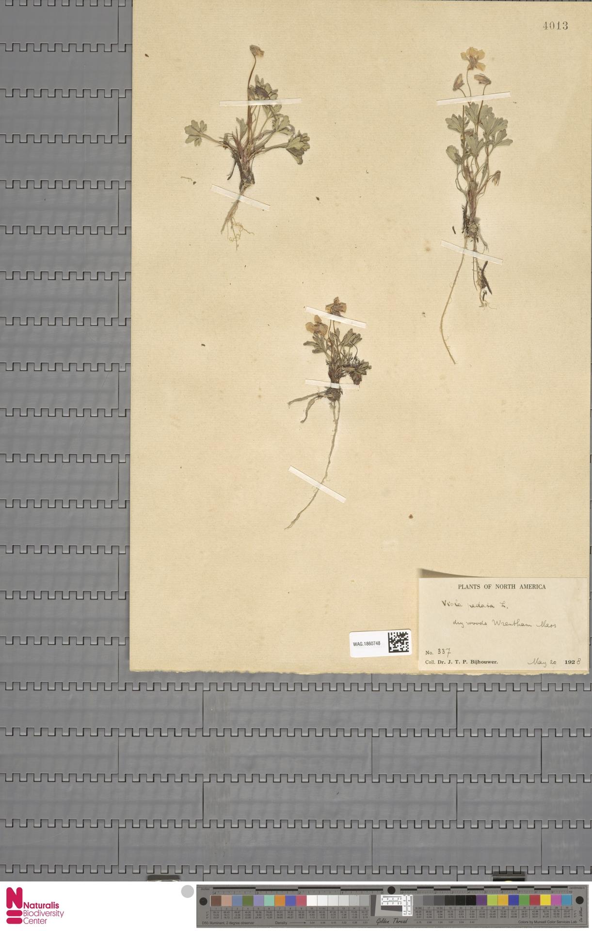 WAG.1860748 | Viola pedata L.