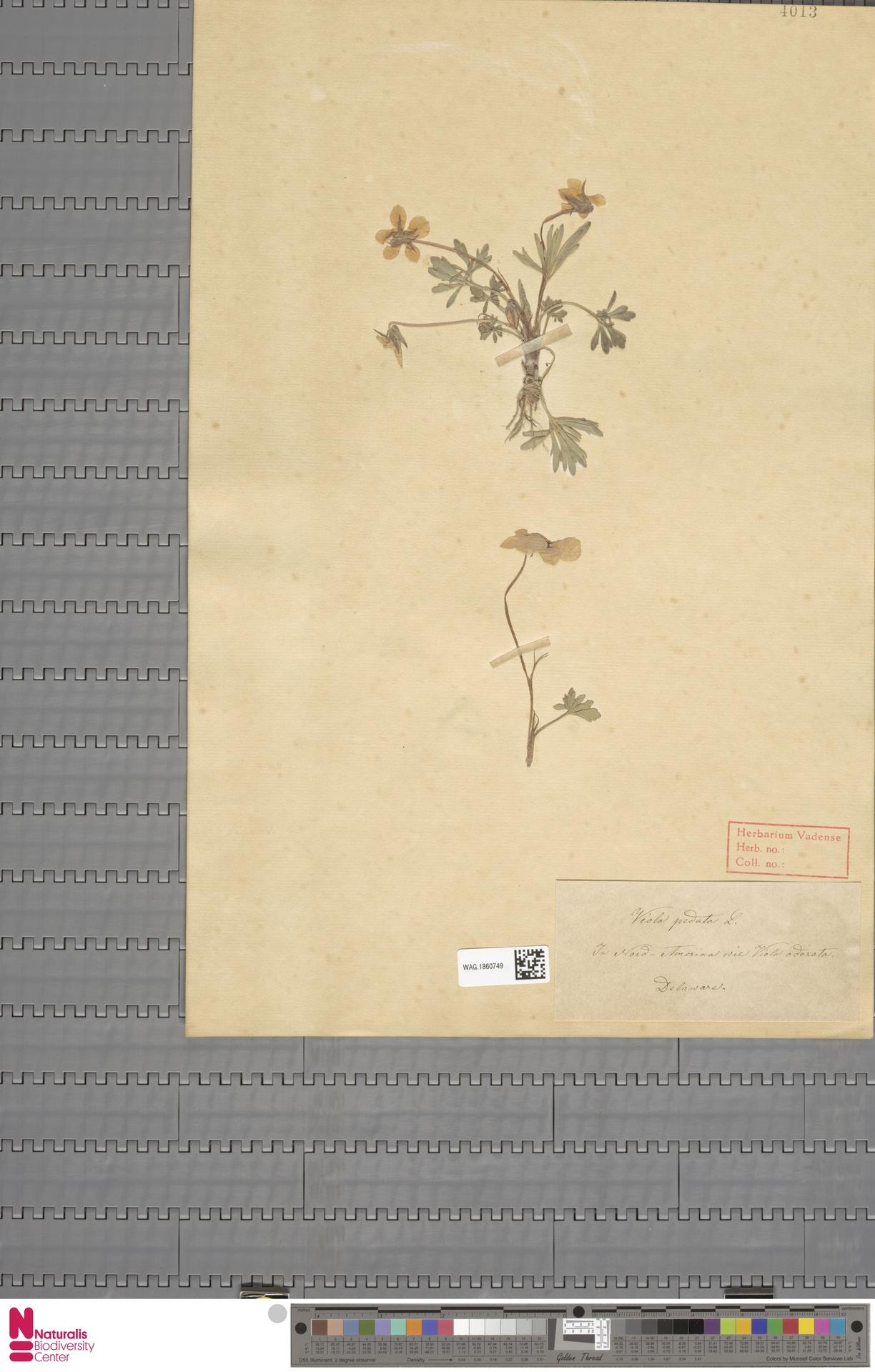 WAG.1860749 | Viola pedata L.