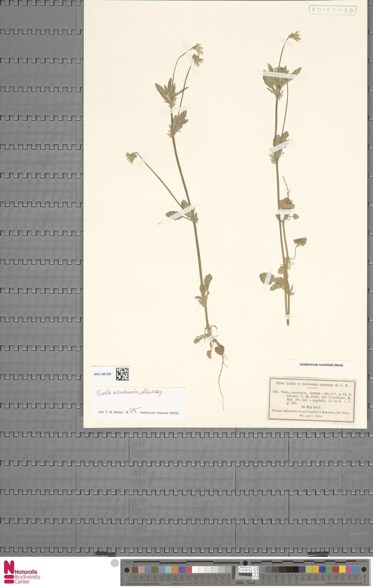 WAG.1861393 | Viola arvensis Murray