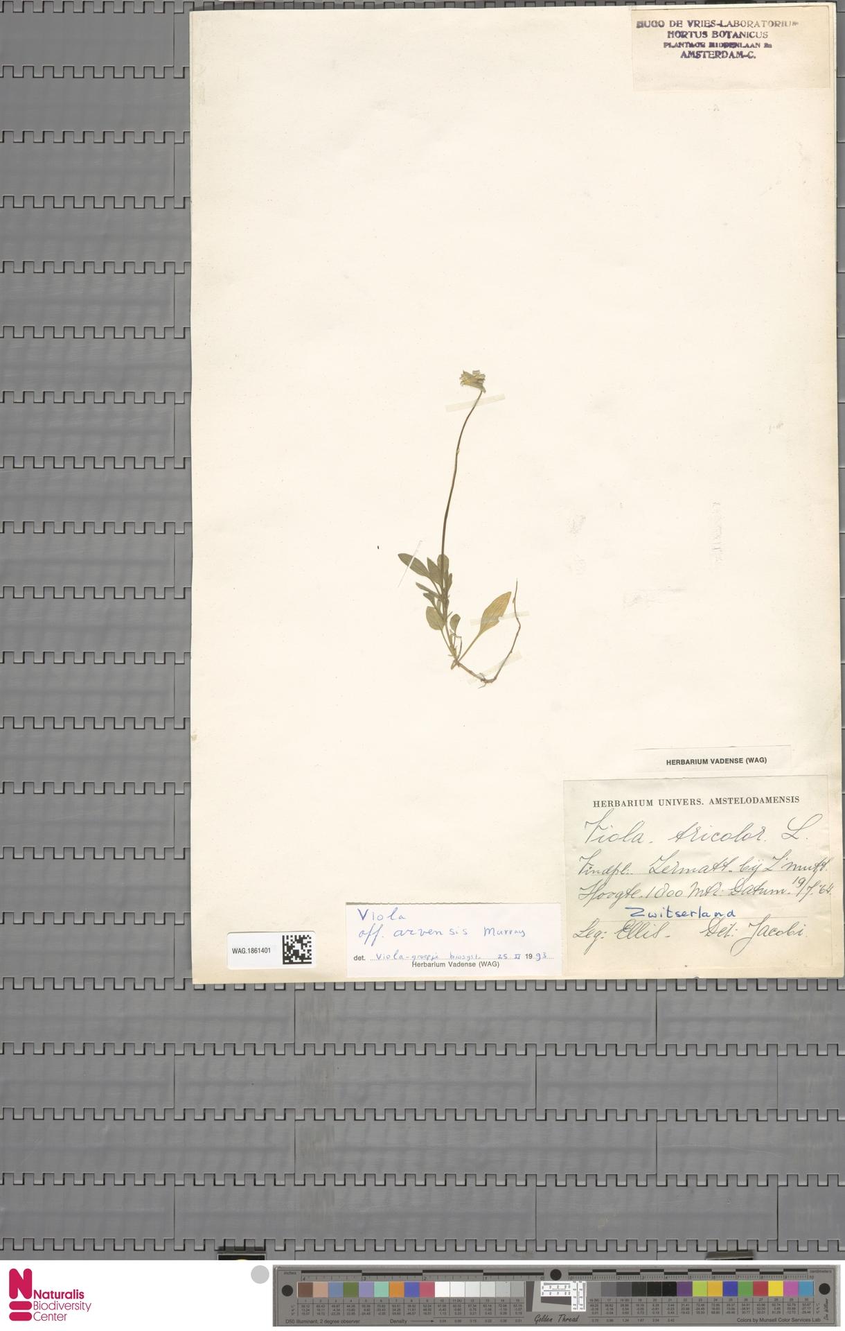 WAG.1861401 | Viola arvensis Murray