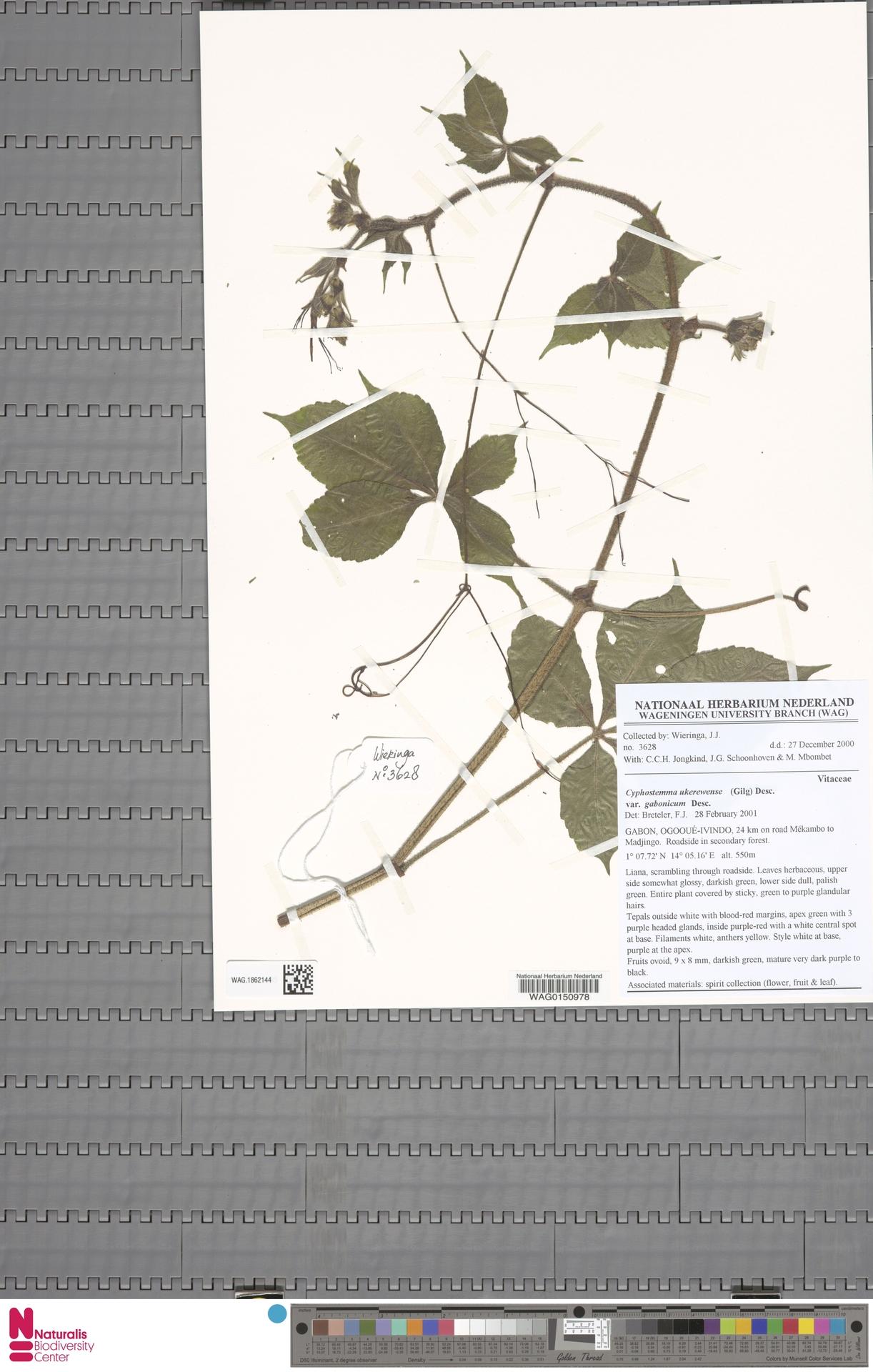 WAG.1862144 | Cyphostemma ukerewense var. gabonicum Desc.
