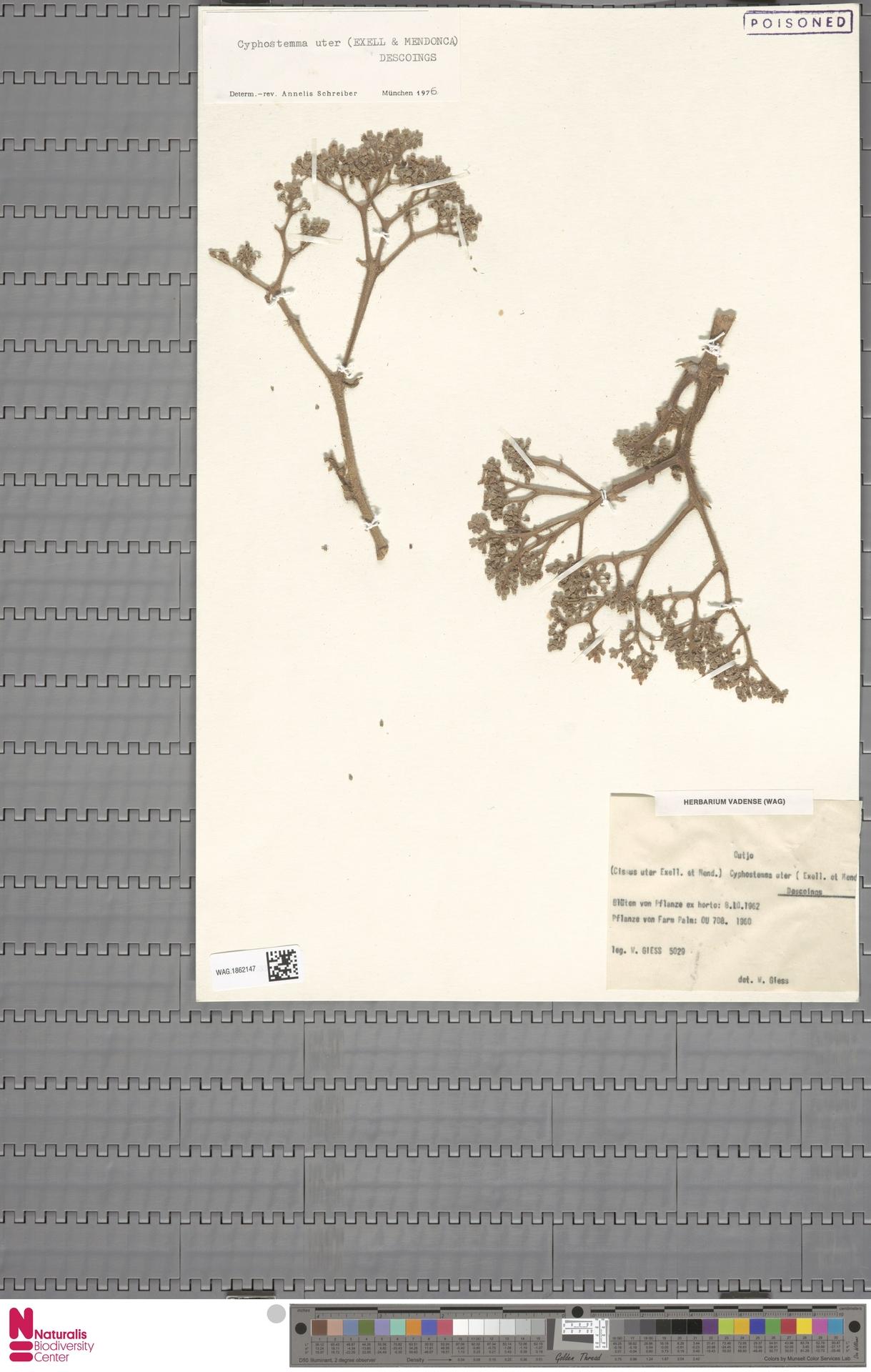 WAG.1862147 | Cyphostemma uter (Exell & Mendonça) Desc.