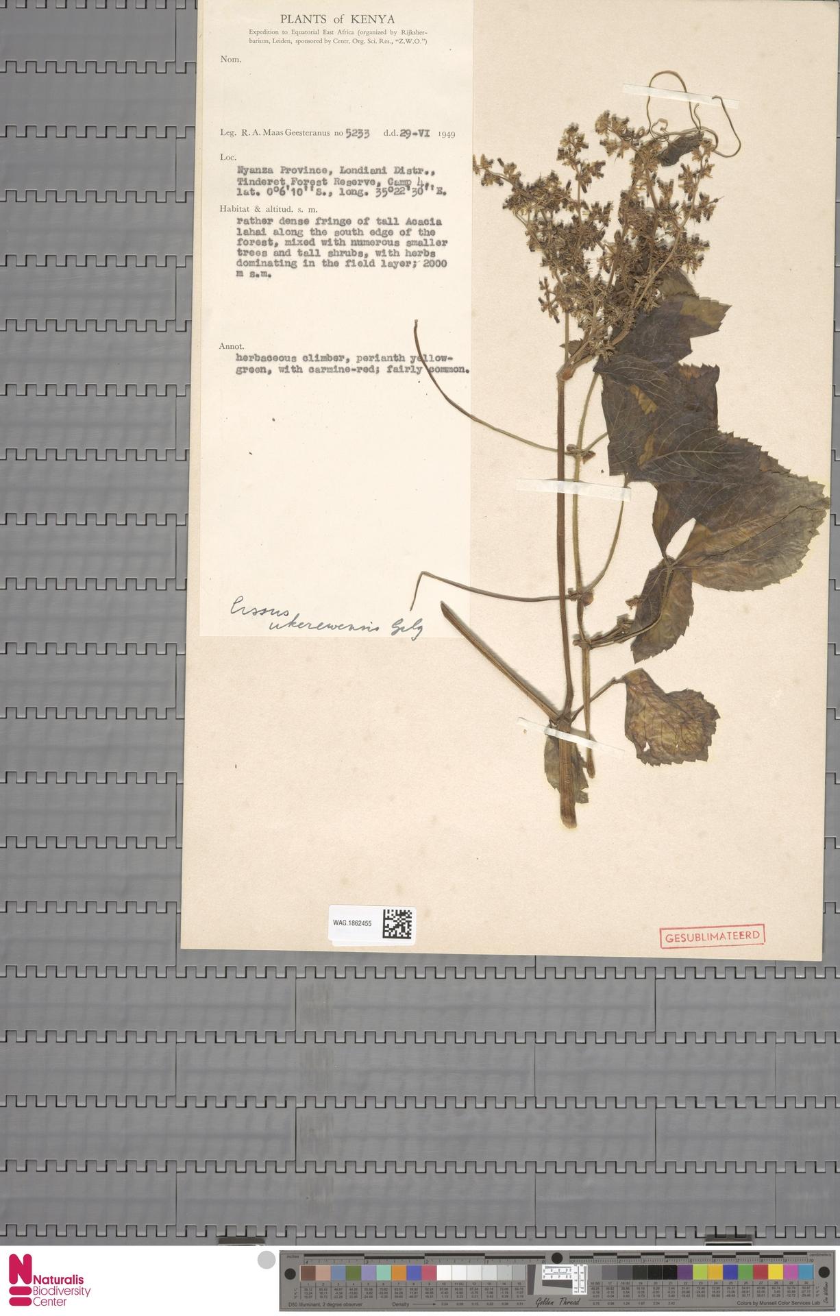WAG.1862455 | Cissus ukerewensis Gilg