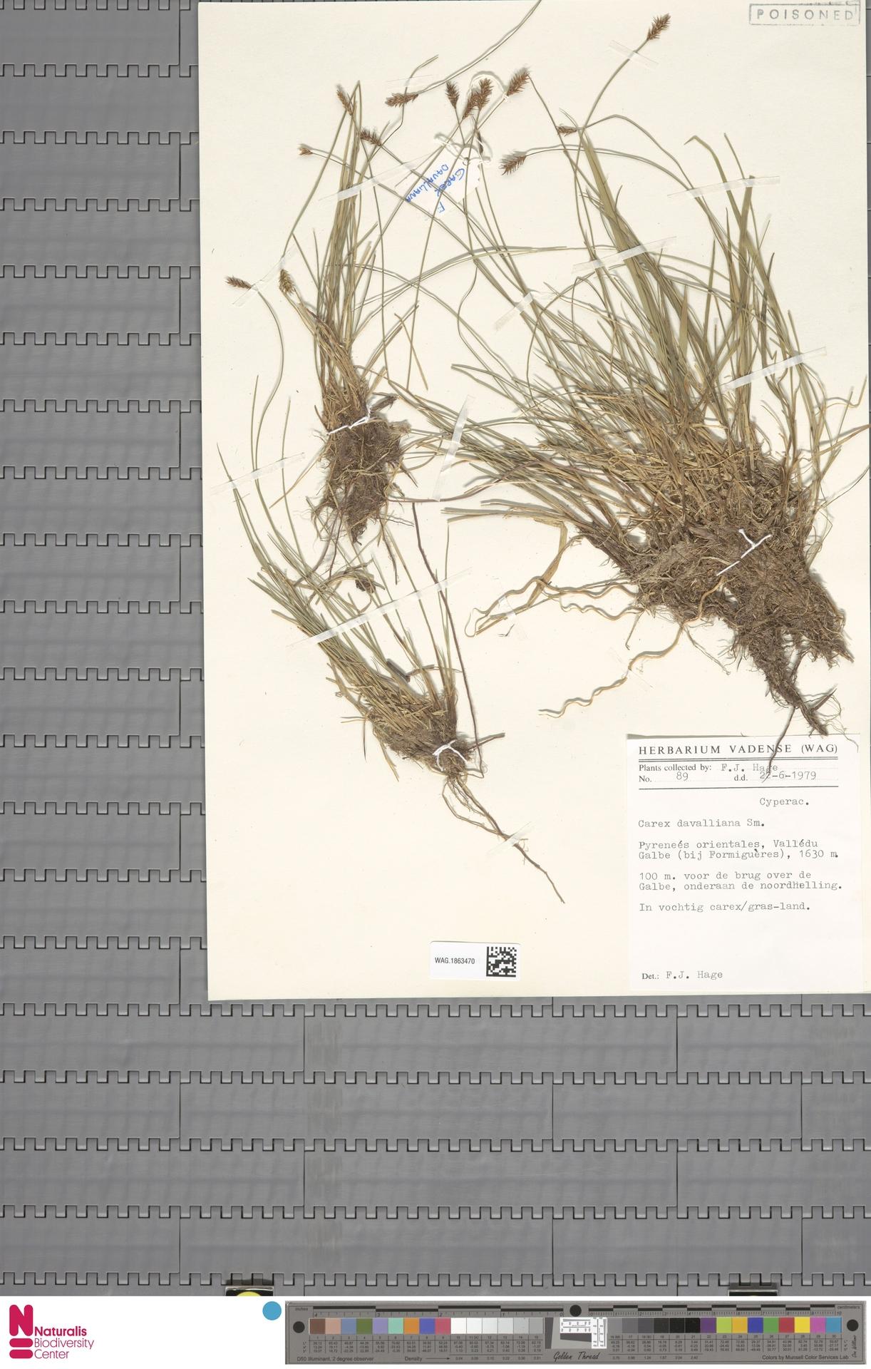 WAG.1863470 | Carex davalliana Sm.