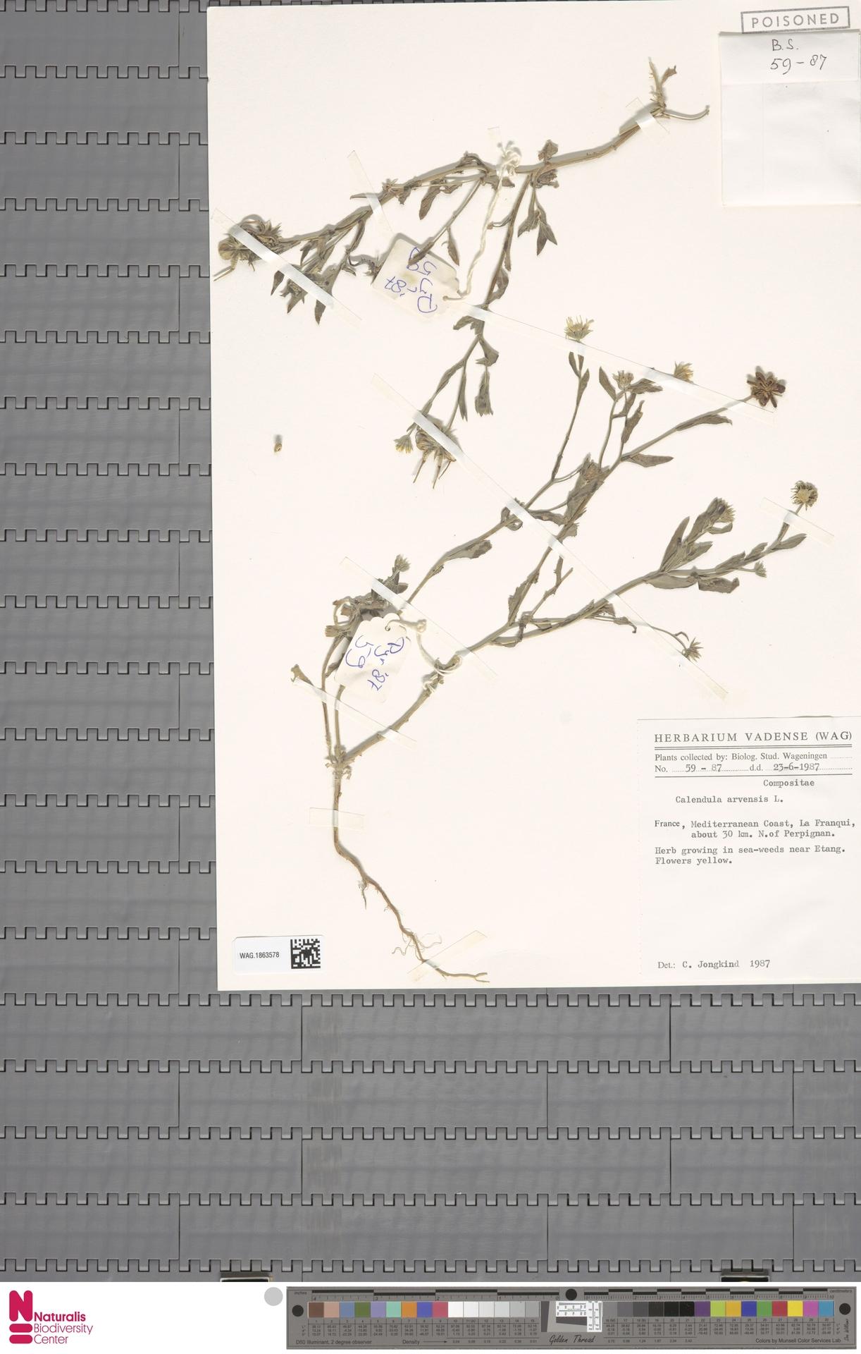 WAG.1863578 | Calendula arvensis (Vaill.) L.