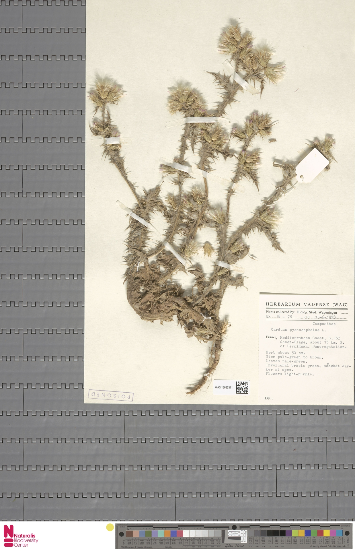 WAG.1868537 | Carduus pycnocephalus L.