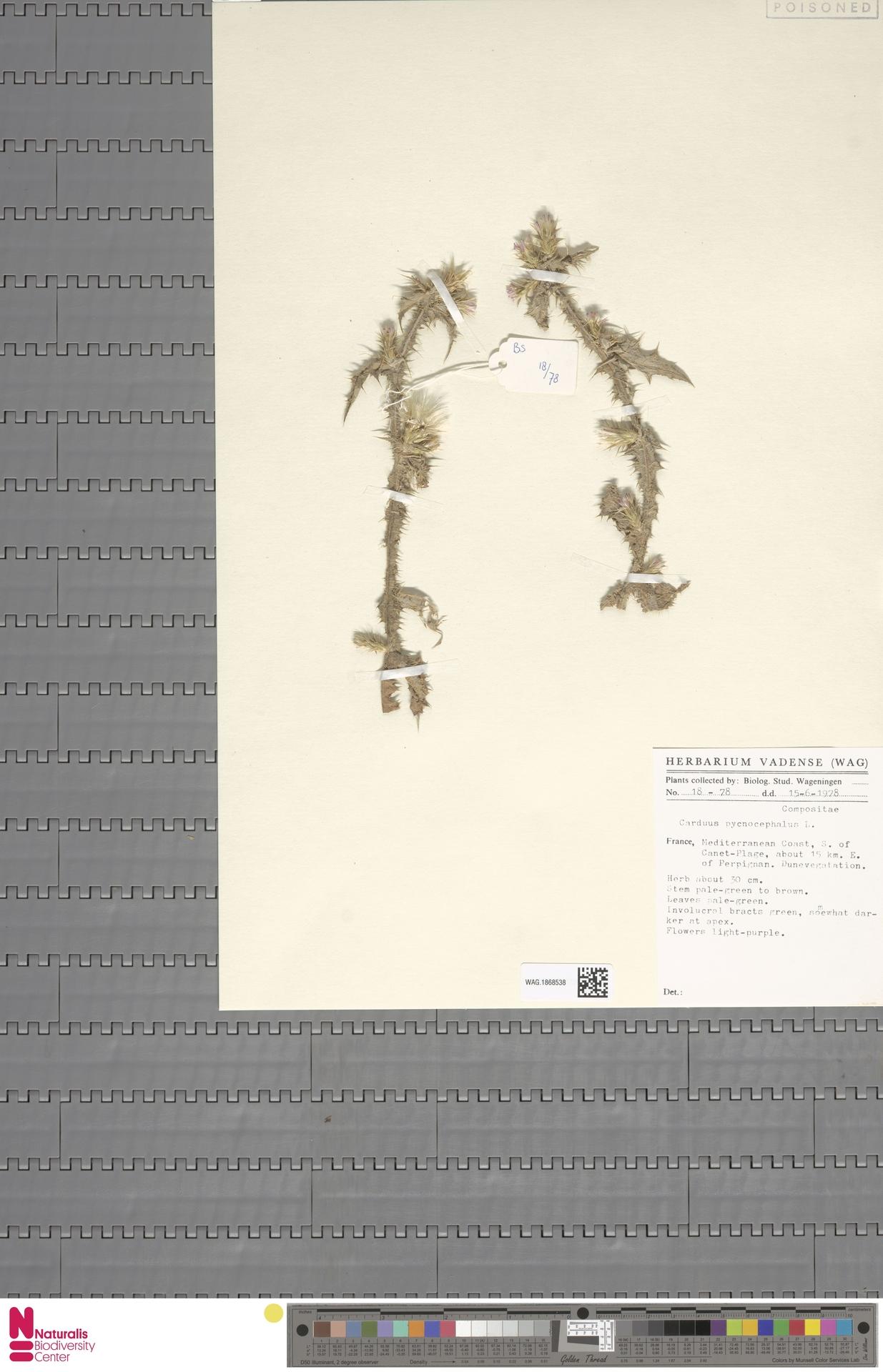WAG.1868538 | Carduus pycnocephalus L.