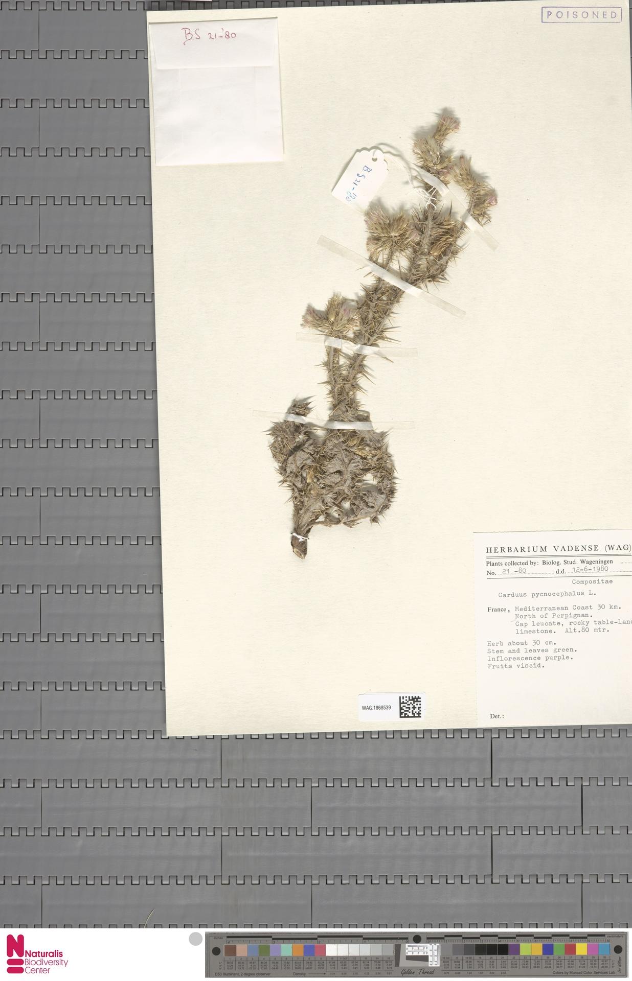 WAG.1868539 | Carduus pycnocephalus L.