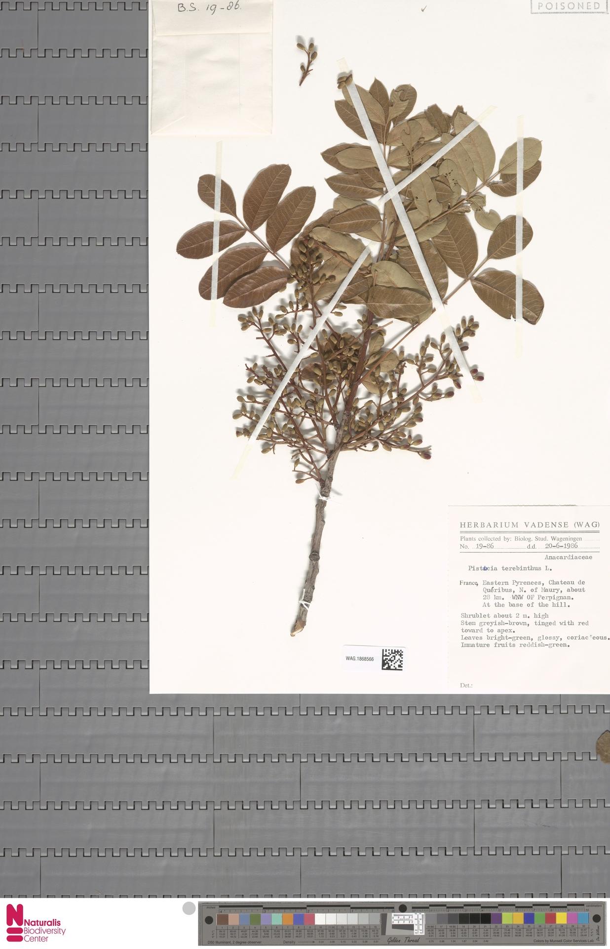 WAG.1868566 | Pistacia terebinthus L.