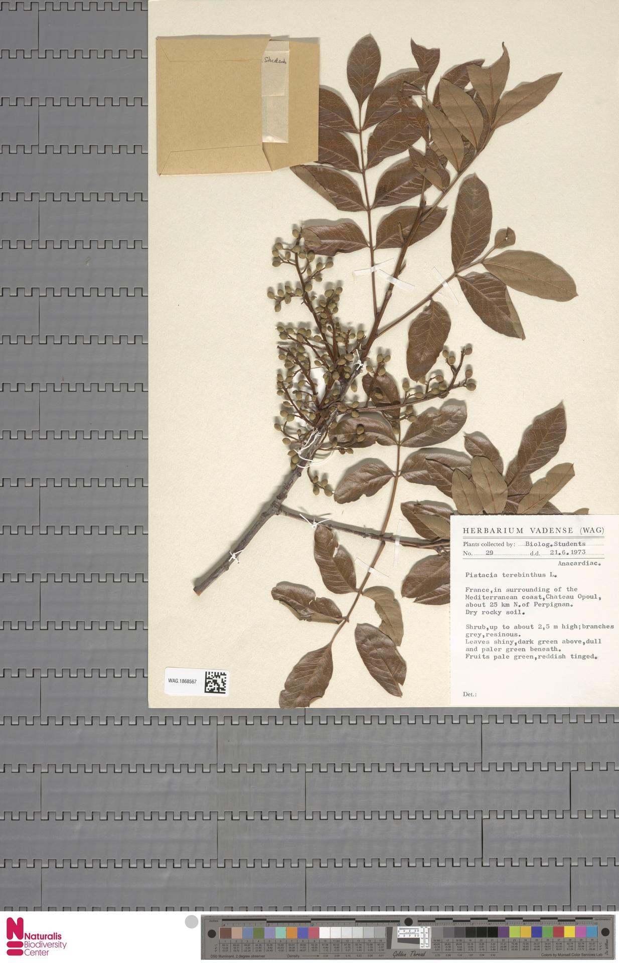 WAG.1868567   Pistacia terebinthus L.