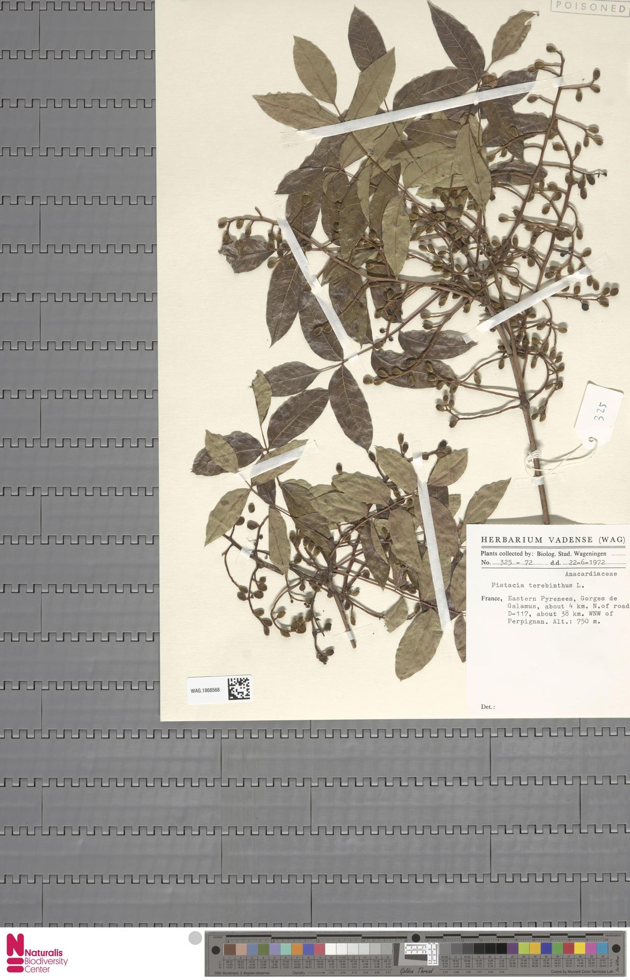 WAG.1868568 | Pistacia terebinthus L.