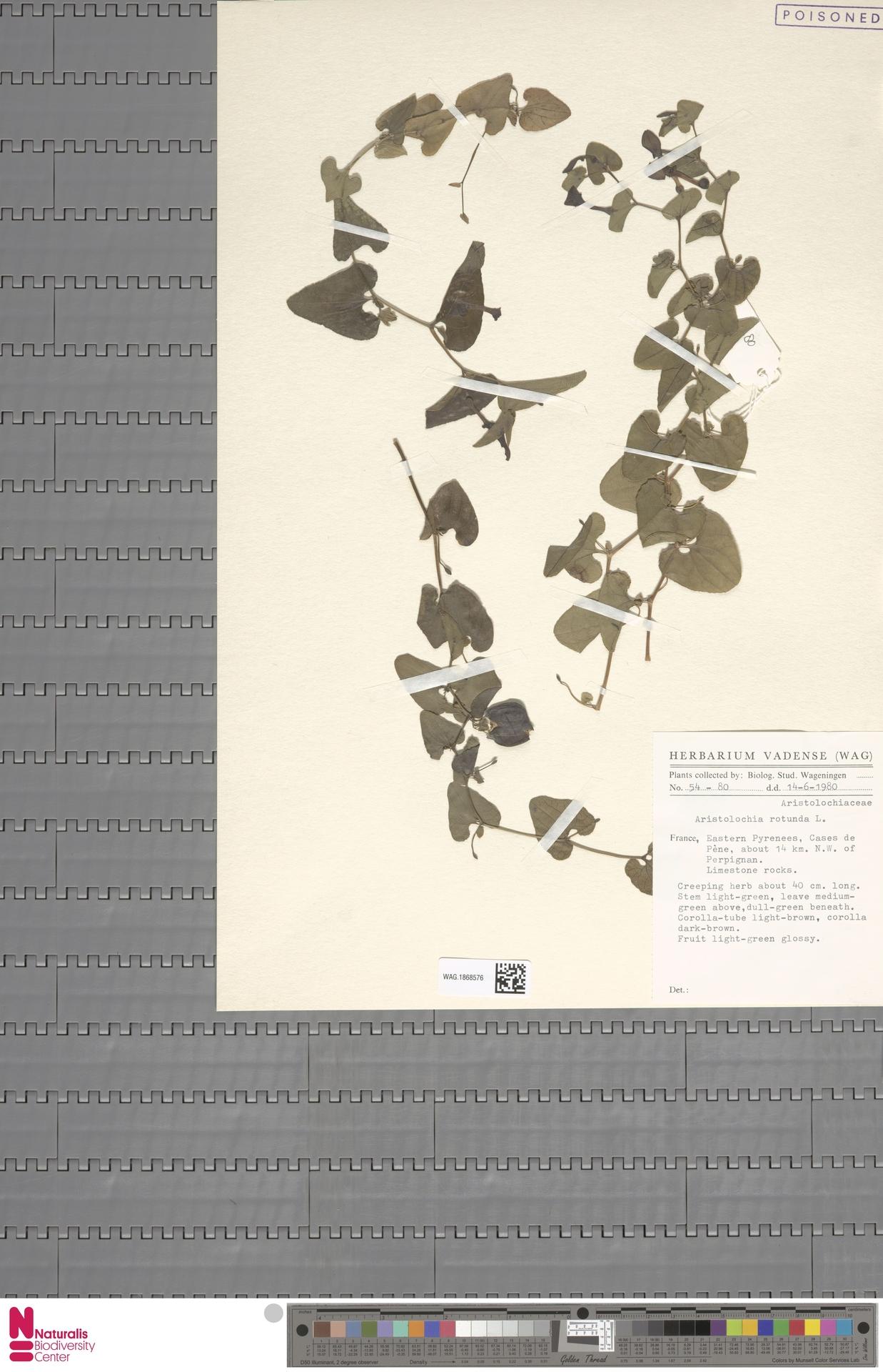 WAG.1868576 | Aristolochia rotunda L.