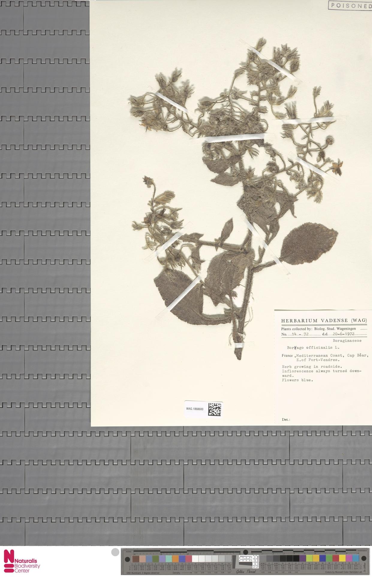 WAG.1868600 | Borago officinalis L.