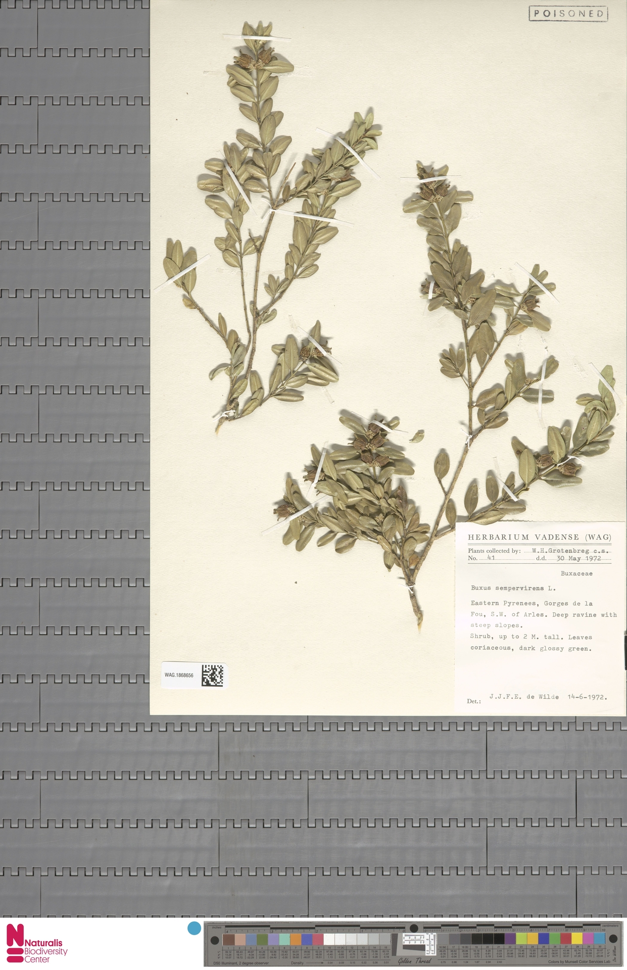 WAG.1868656 | Buxus sempervirens L.