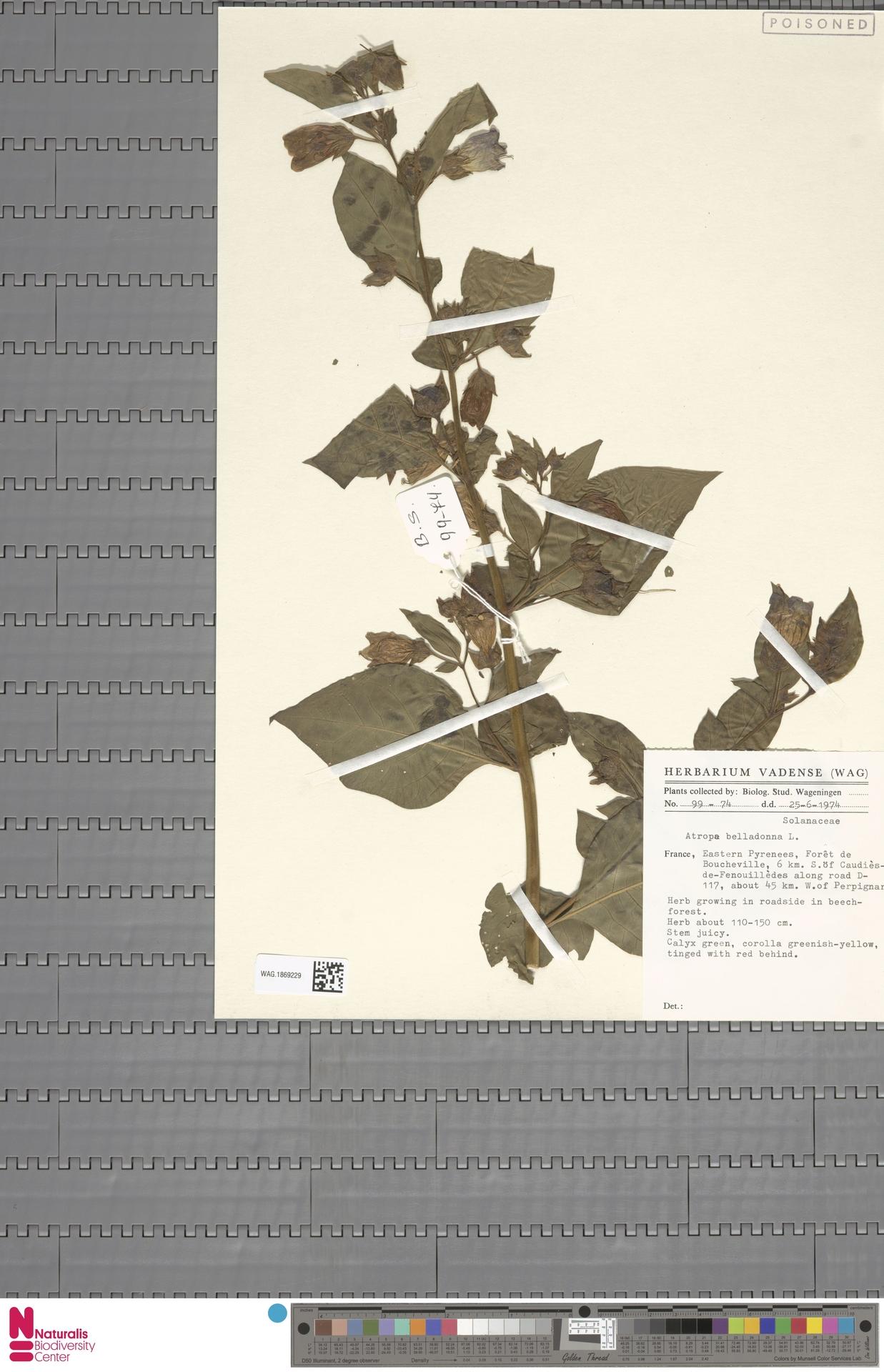 WAG.1869229 | Atropa belladonna L.