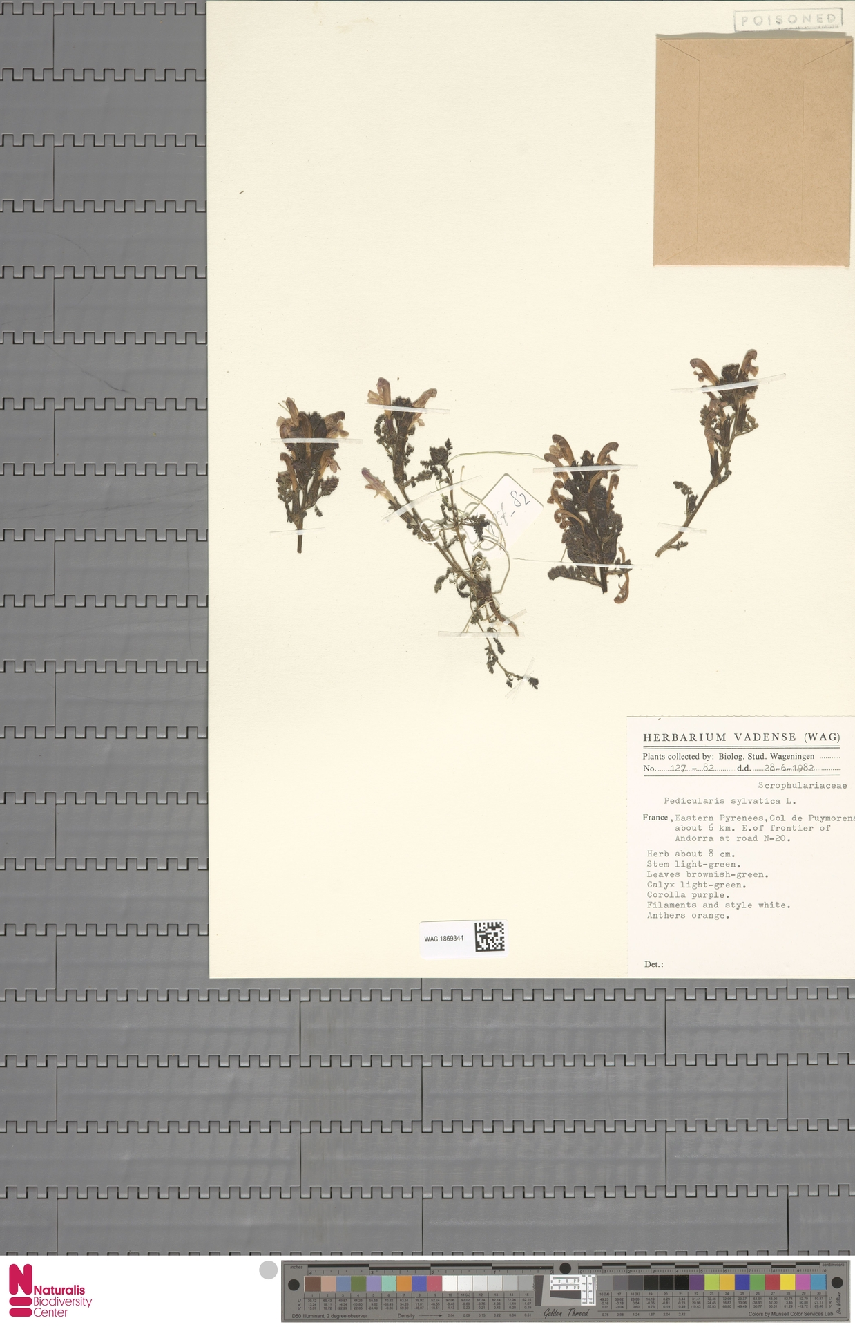 WAG.1869344 | Pedicularis sylvatica L.