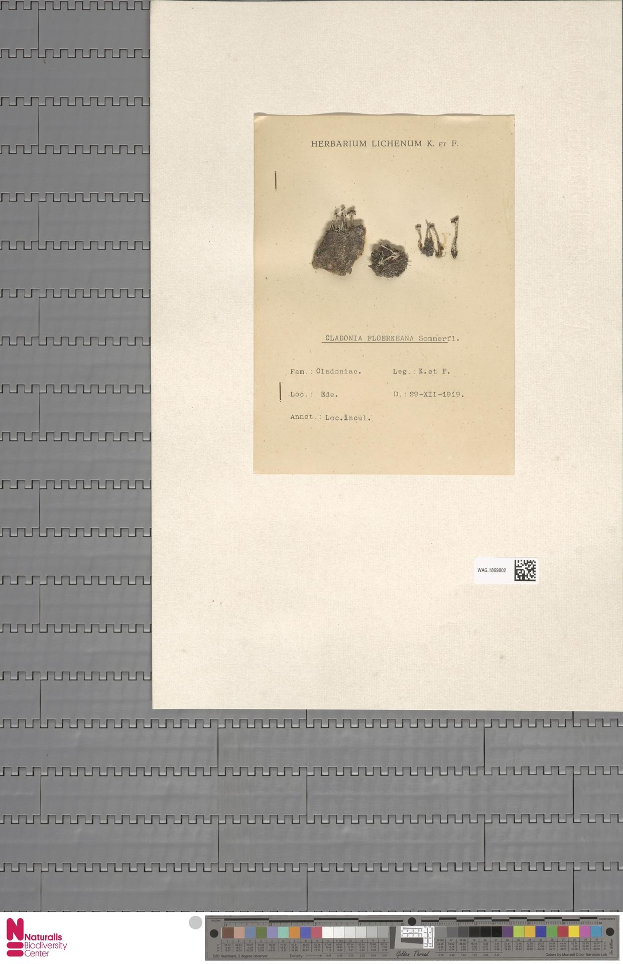 WAG.1869802 | Cladonia floerkeana (Fr.) Flörke