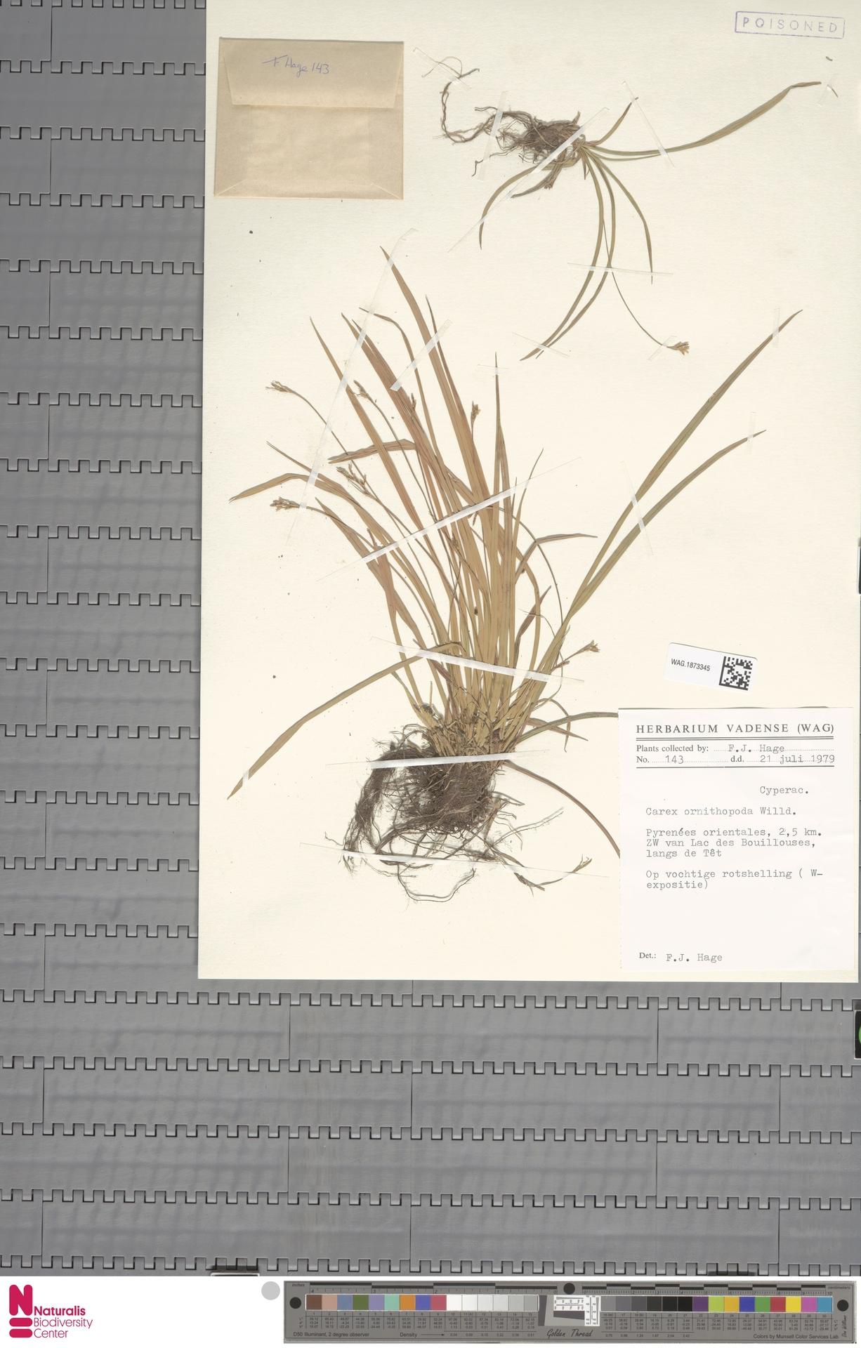 WAG.1873345 | Carex ornithopoda Willd.
