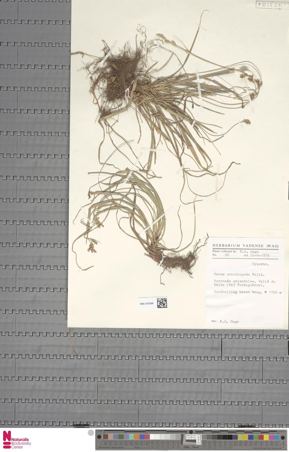 WAG.1873346 | Carex ornithopoda Willd.
