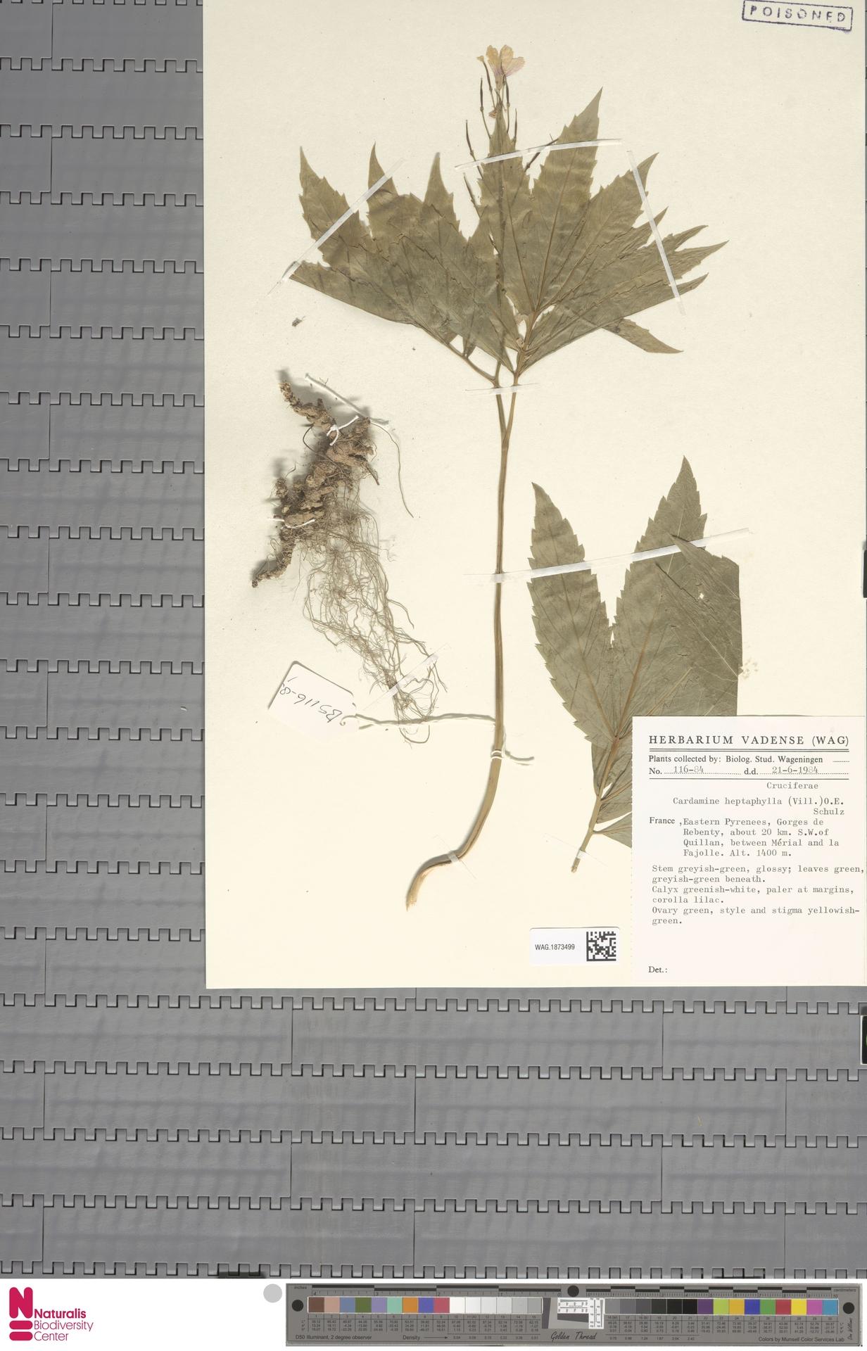 WAG.1873499 | Cardamine heptaphylla (Vill.) O.E.Schulz