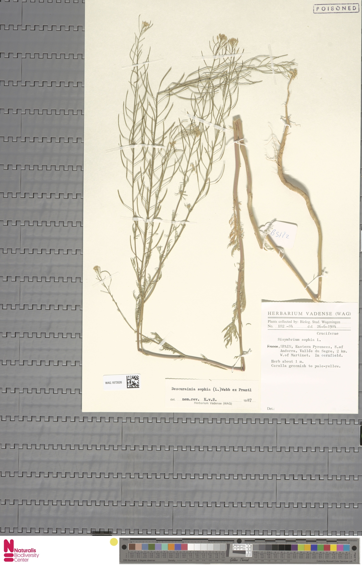 WAG.1873526 | Descurainia sophia (L.) Webb ex Prantl