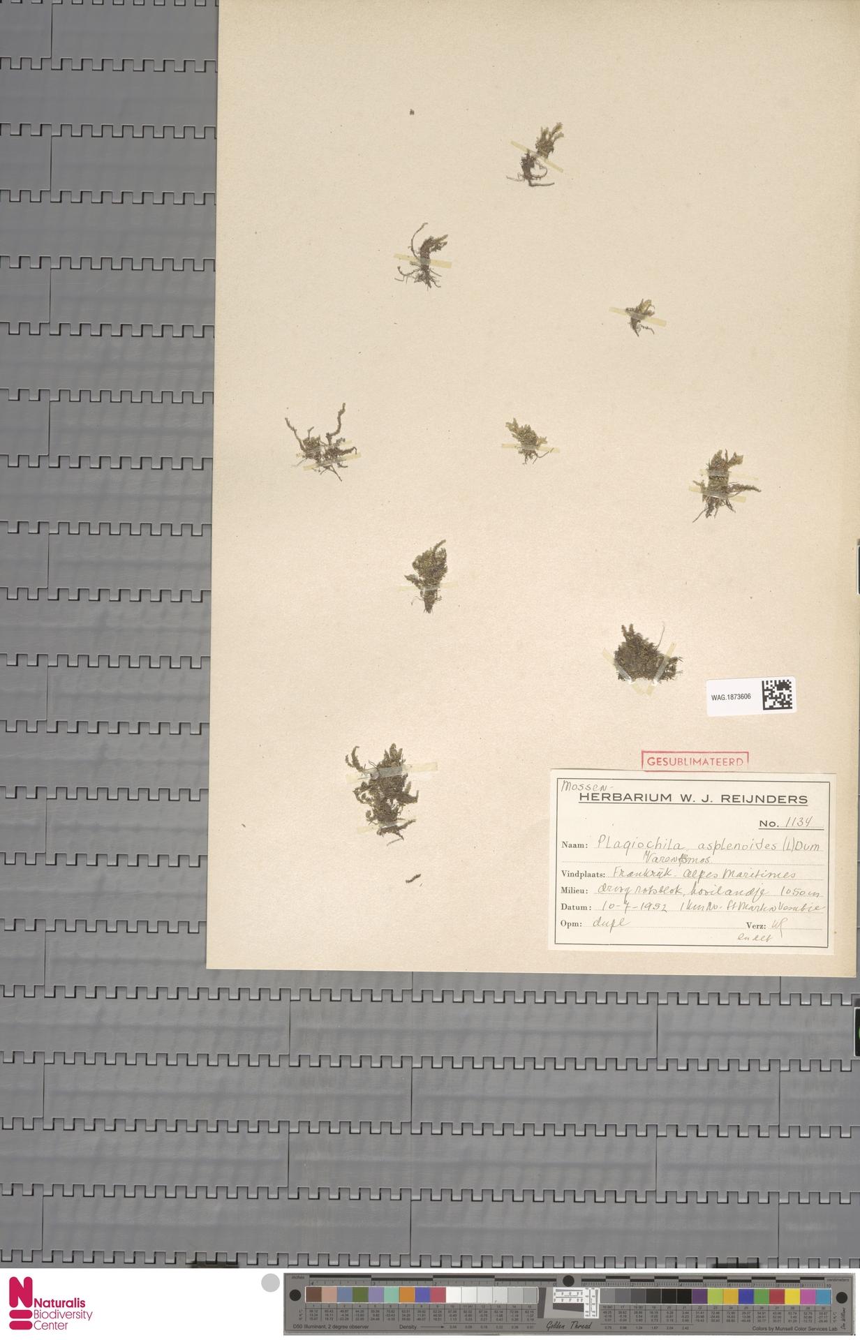 WAG.1873606 | Plagiochila asplenioides (L.) Dumort.