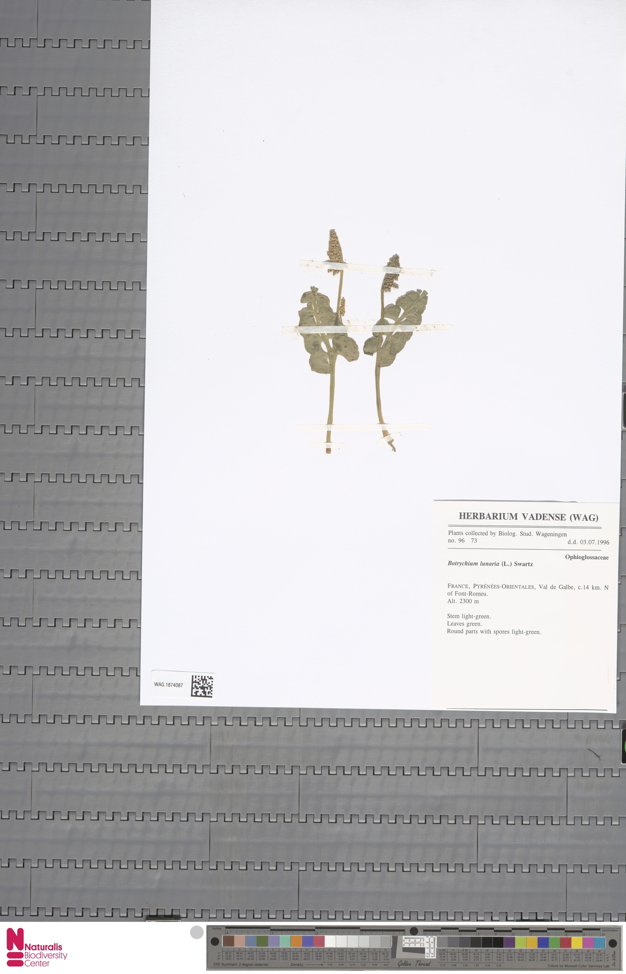 WAG.1874087 | Botrychium lunaria (L.) Sw.