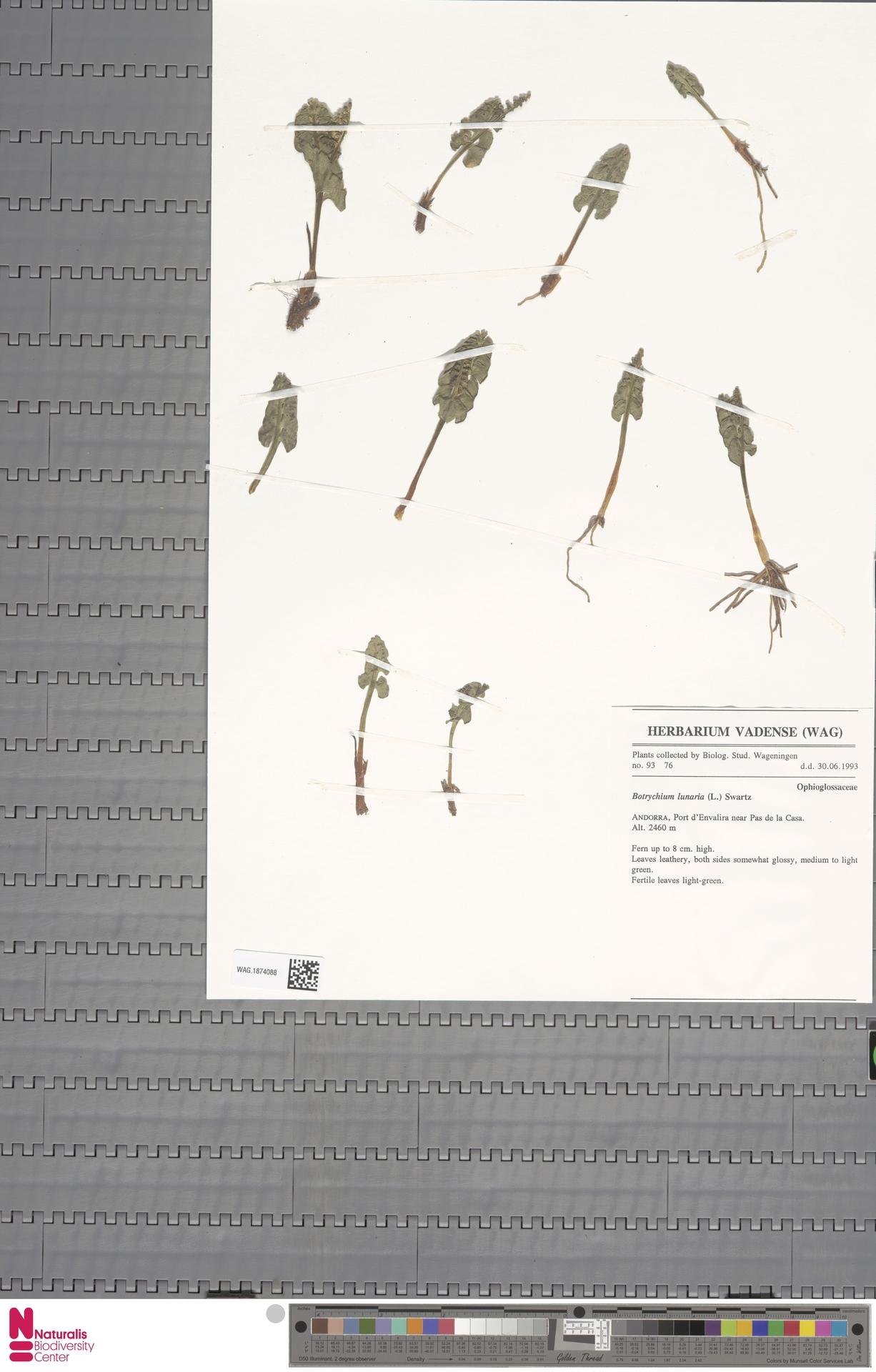 WAG.1874088 | Botrychium lunaria (L.) Sw.