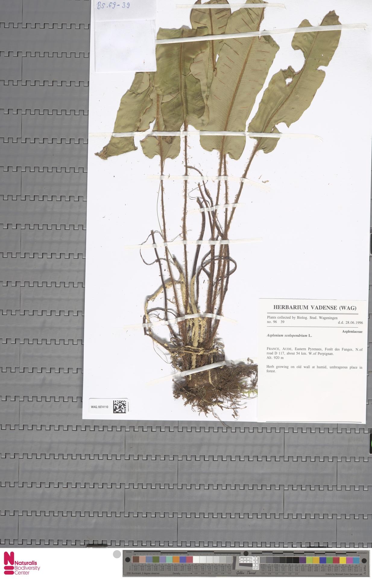 WAG.1874110 | Asplenium scolopendrium L.