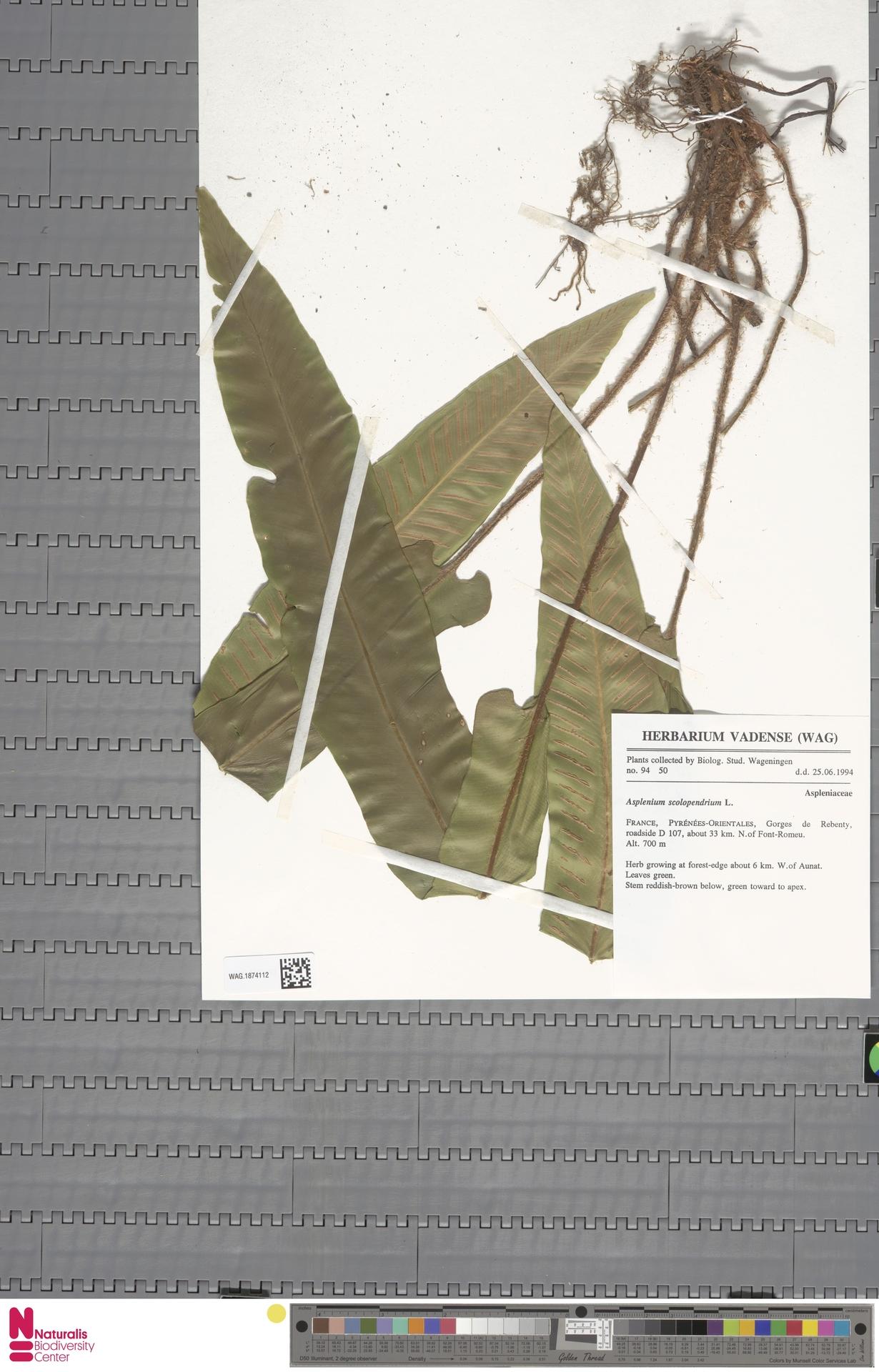WAG.1874112 | Asplenium scolopendrium L.