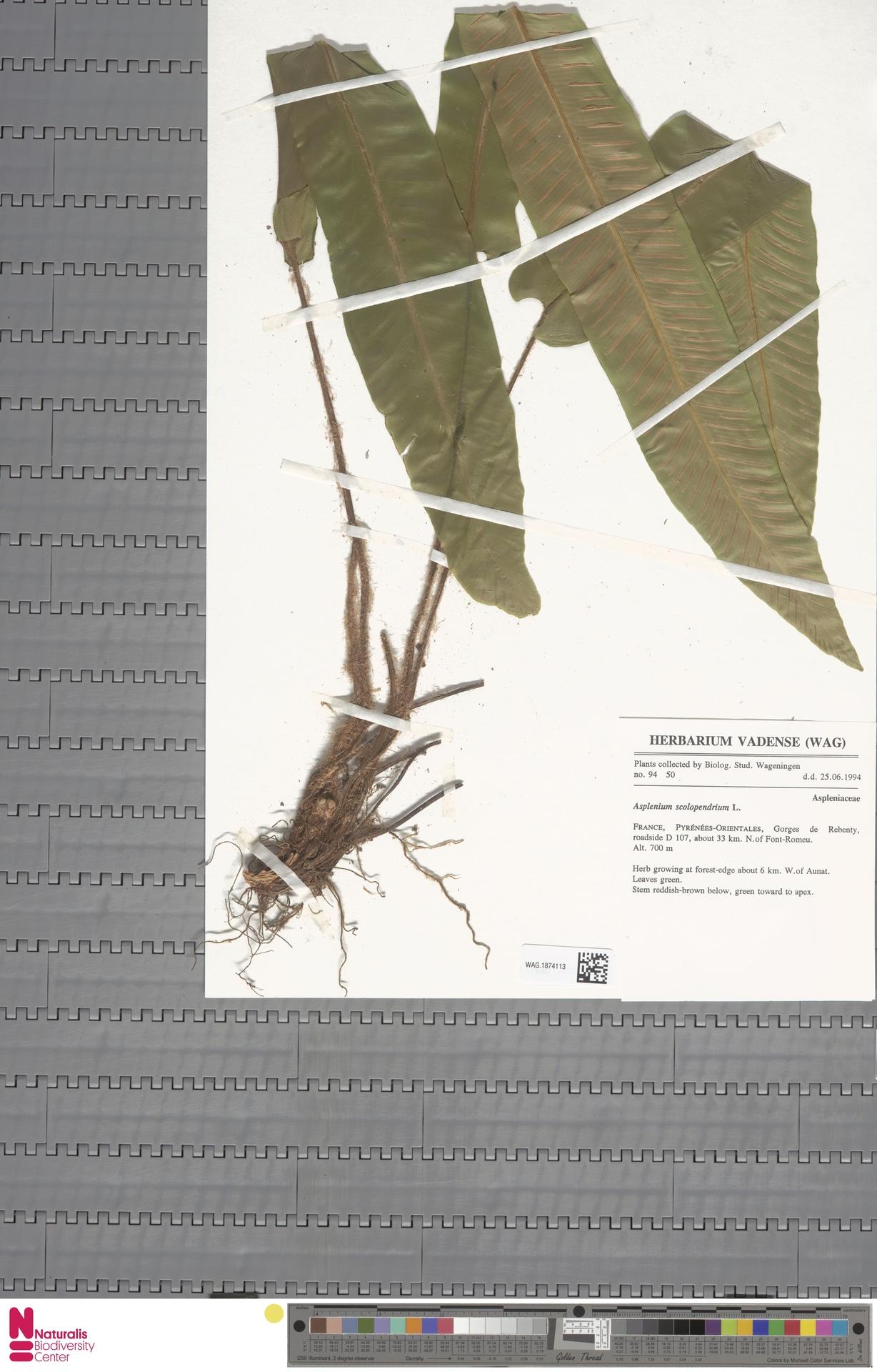 WAG.1874113   Asplenium scolopendrium L.