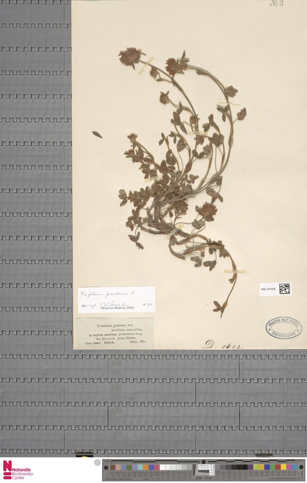 WAG.1875536 | Trifolium pratense L.