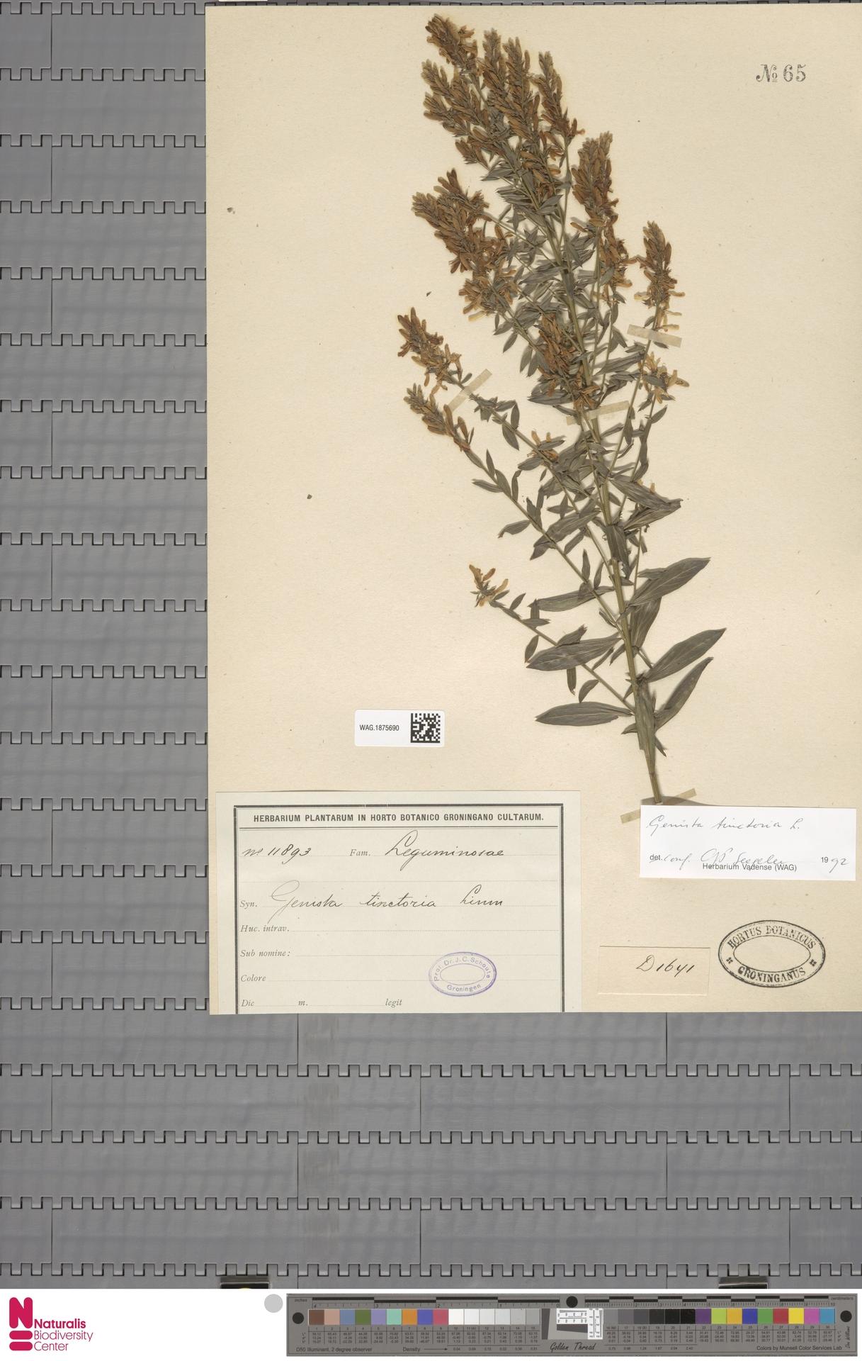 WAG.1875690 | Genista tinctoria L.