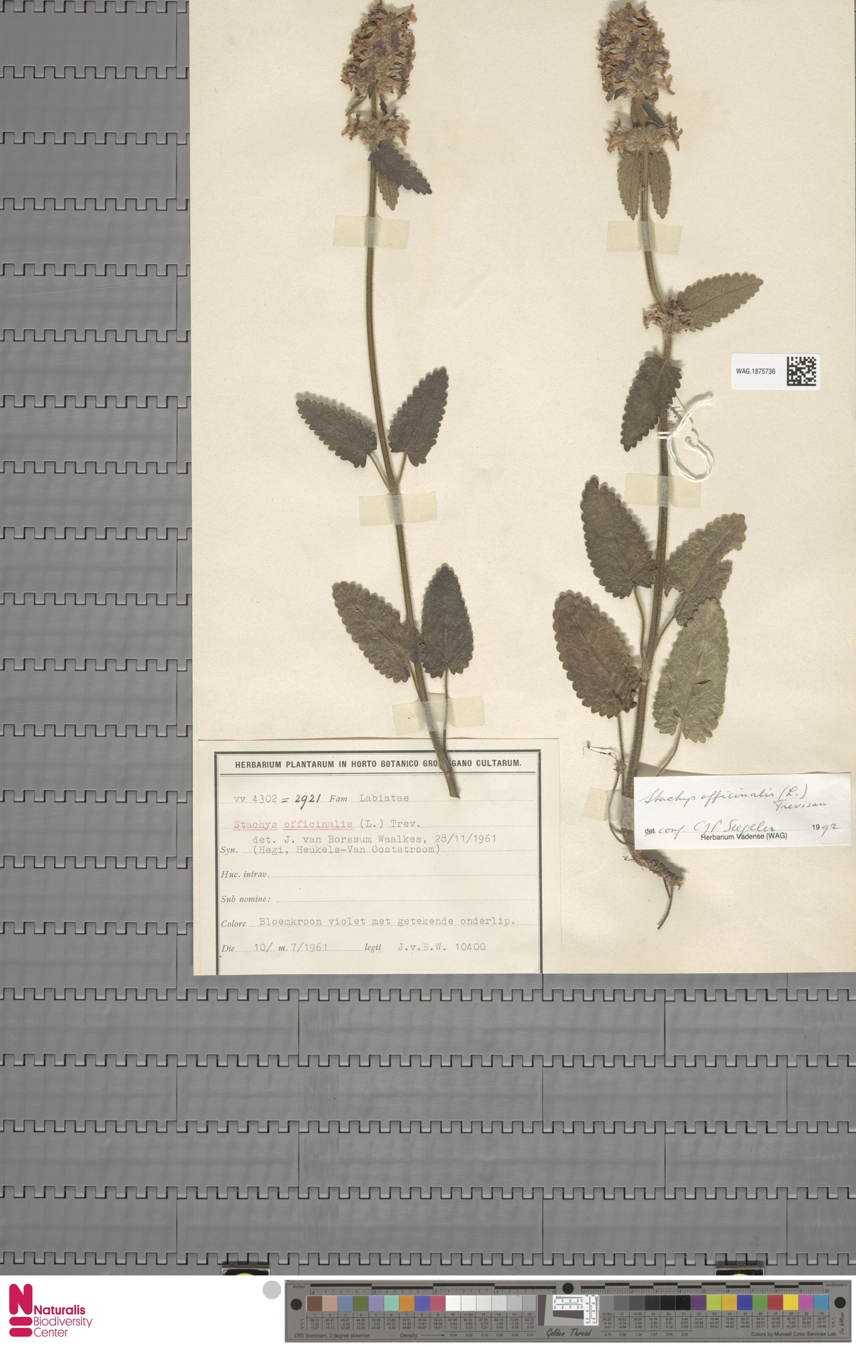 WAG.1875736 | Stachys officinalis (L.) Trevis.