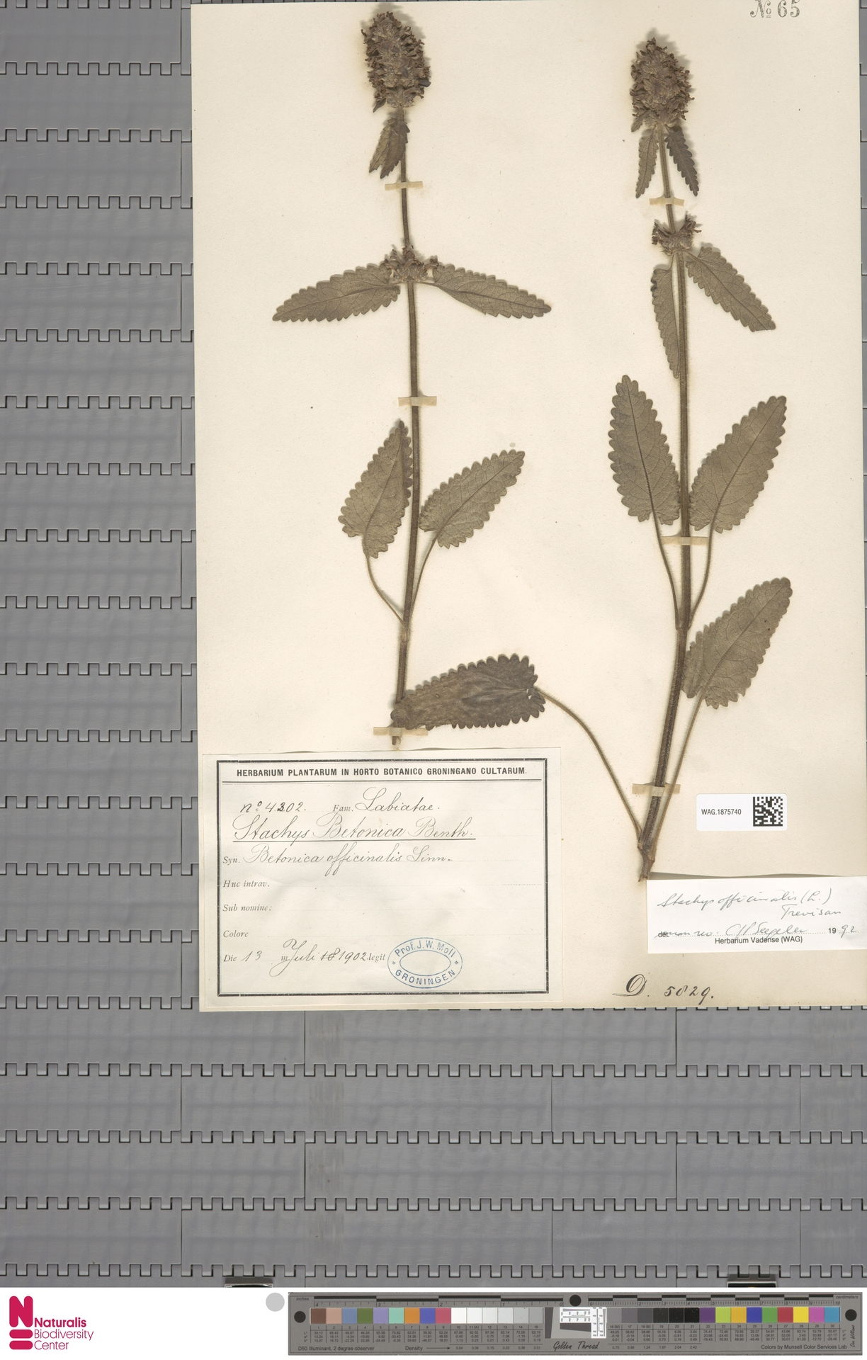 WAG.1875740 | Stachys officinalis (L.) Trevis.