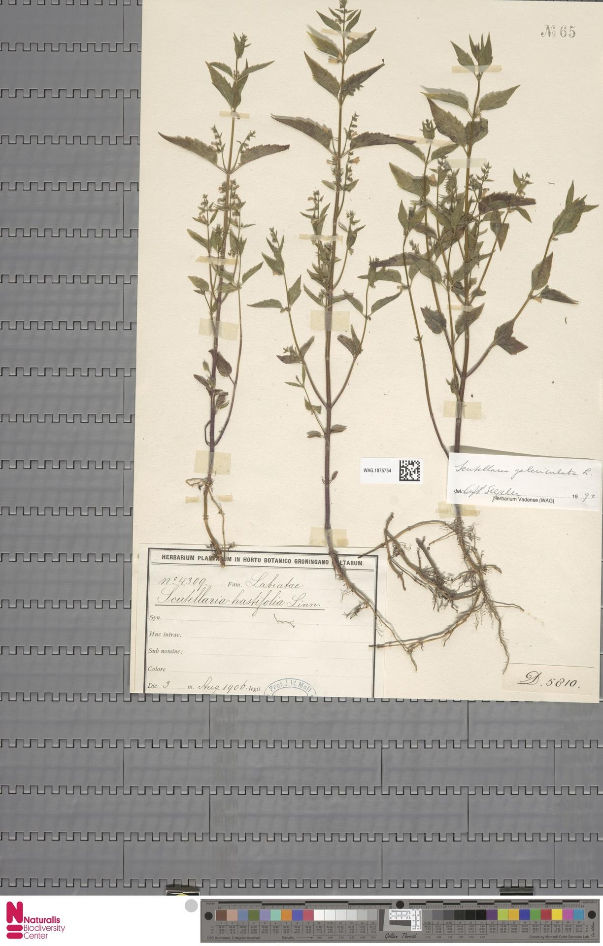 WAG.1875754 | Scutellaria galericulata L.