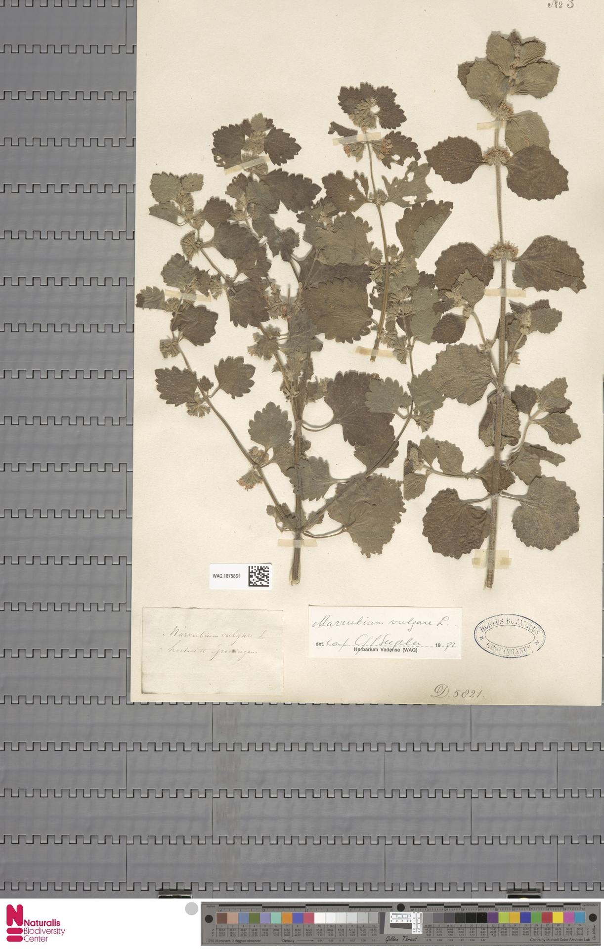 WAG.1875861   Marrubium vulgare L.