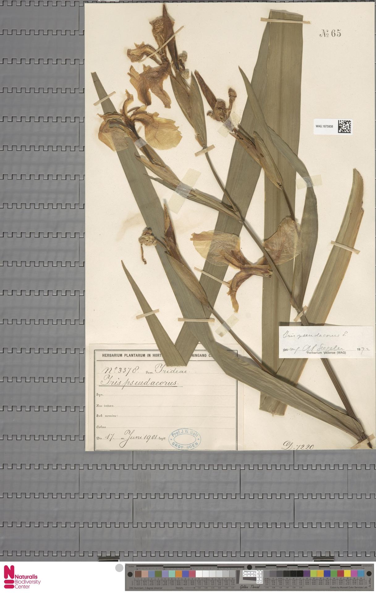 WAG.1875938 | Iris pseudacorus L.
