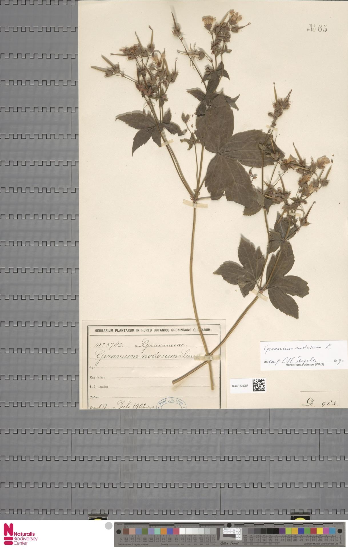 WAG.1876287   Geranium nodosum L.